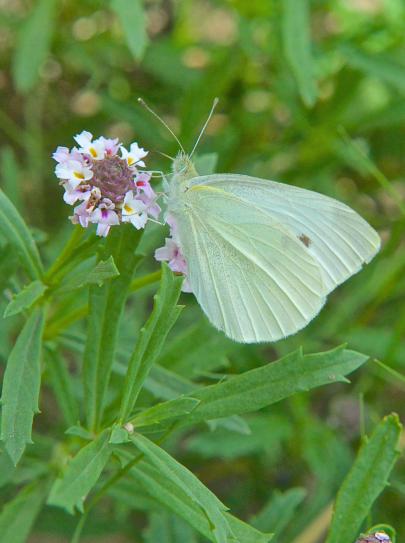 Queen Alexander's Sulphur Butterfly on Fogfruit