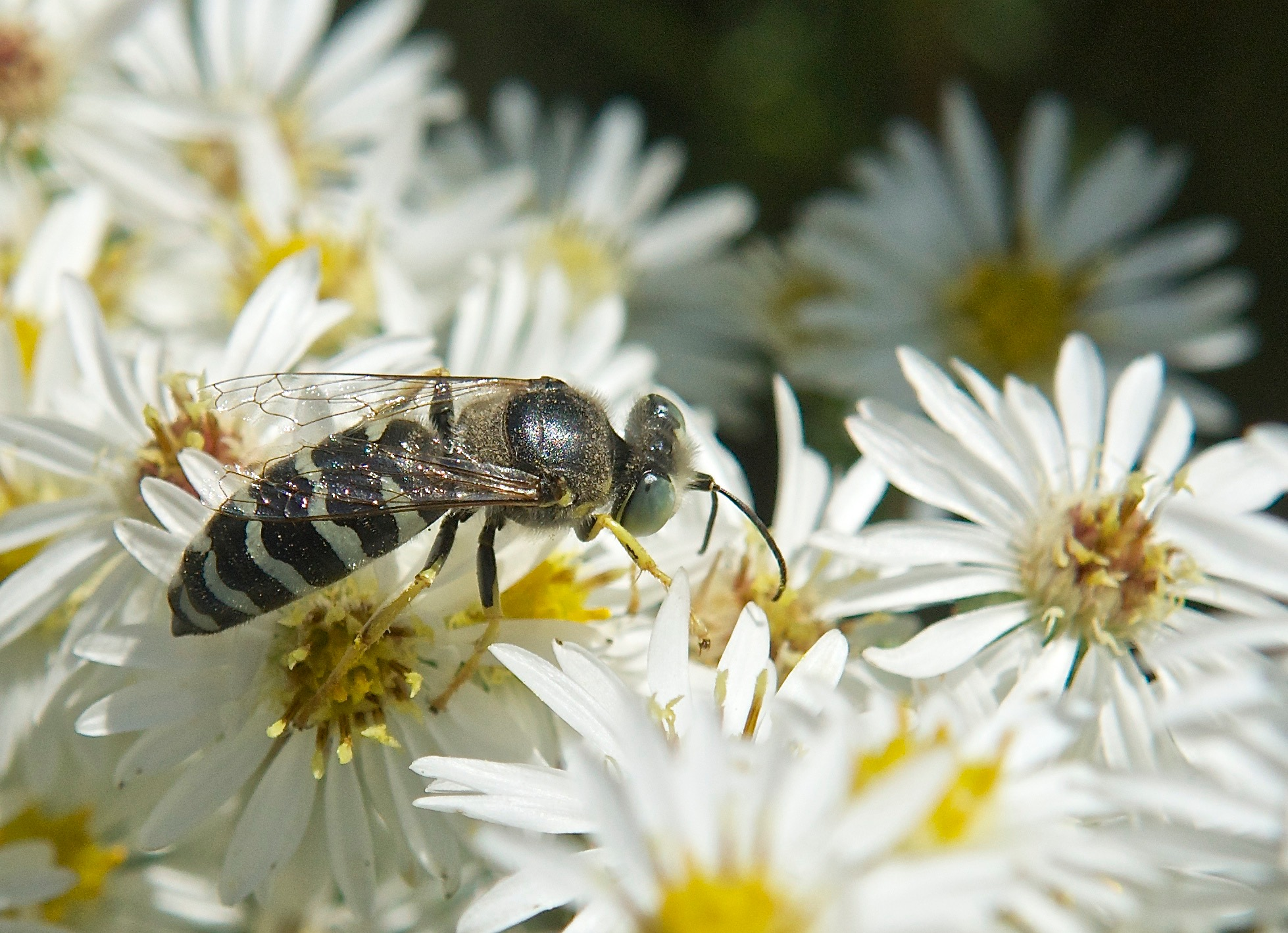 Bee on Heath Aster (Symphyotrichum ericoides)