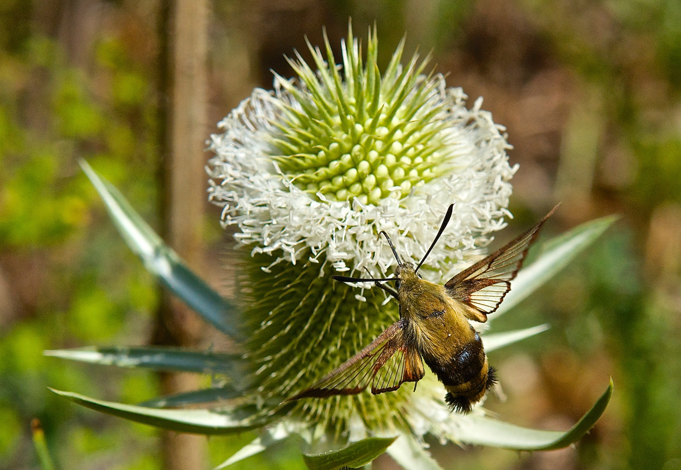 Teasel (Dipsacus fullonum) and Clear-Wing Moth (Hemaris diffinis)