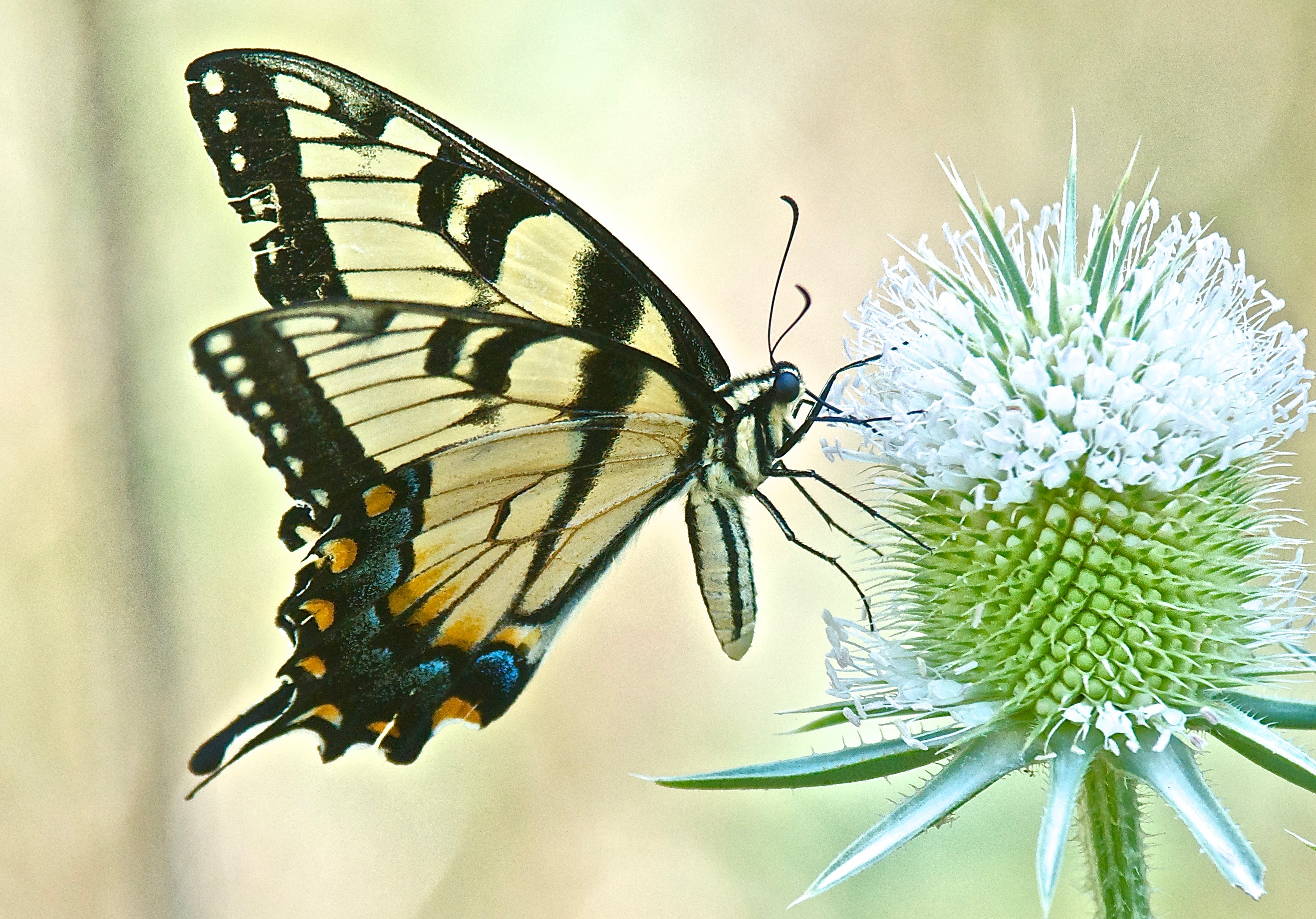 Western Tiger Swallowtail Butterfly (Papilio Rutulus) on Teasel (Dipsacus fullonum)