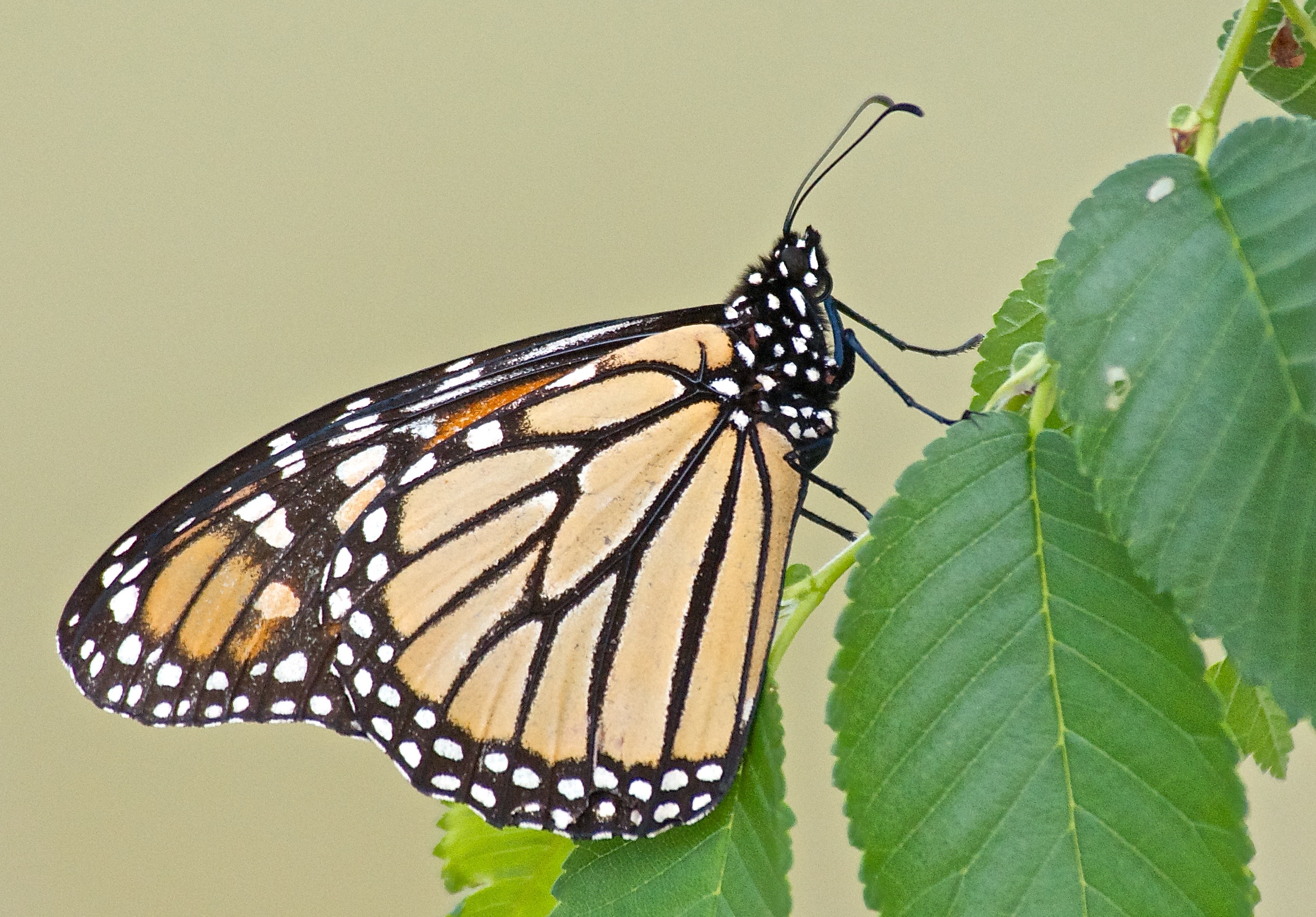 Monarch Butterfly (Danaus Plexippus) on Elm