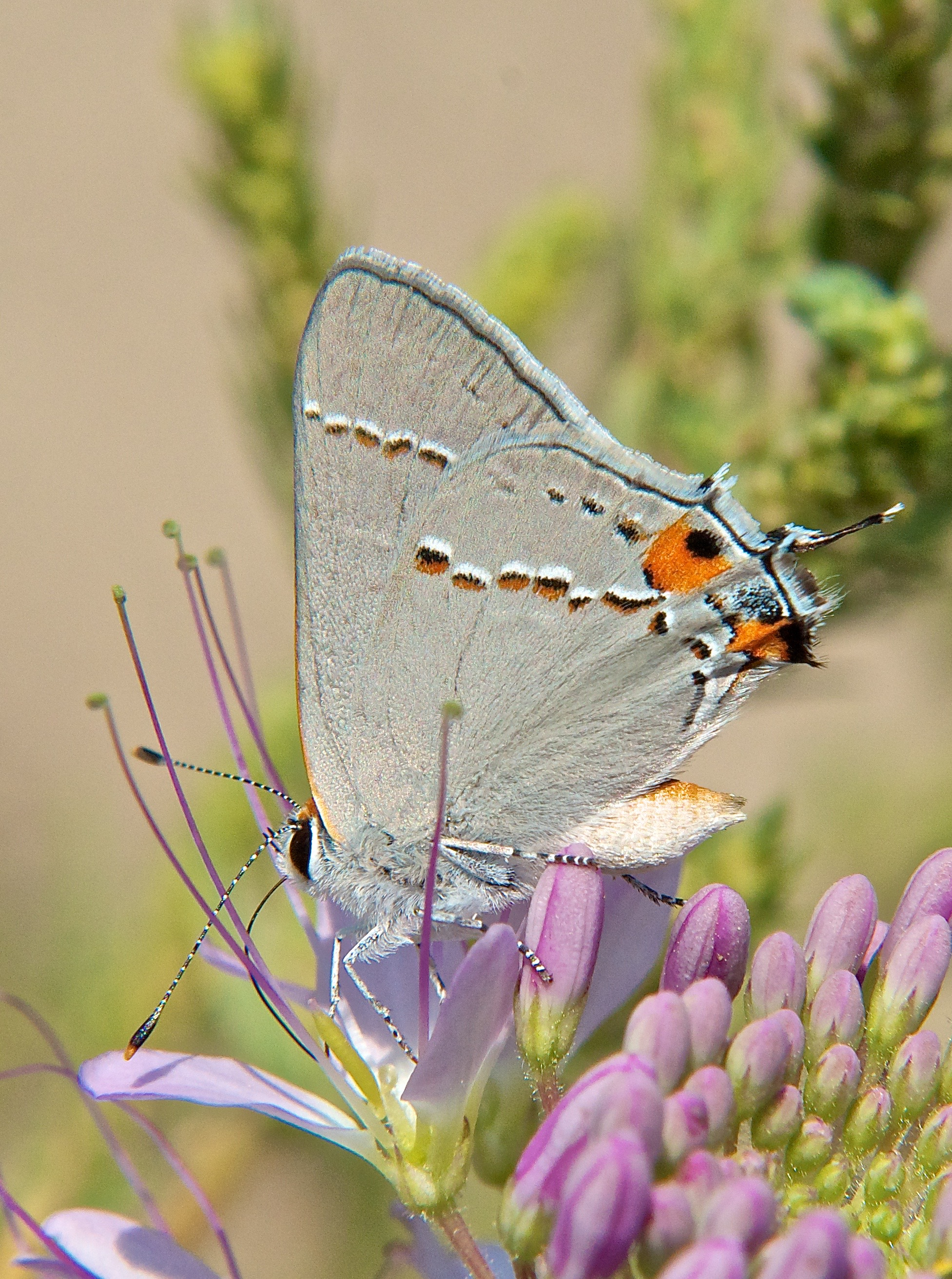 Gray Hairstreak (Strymon melinus) on Bee Plant