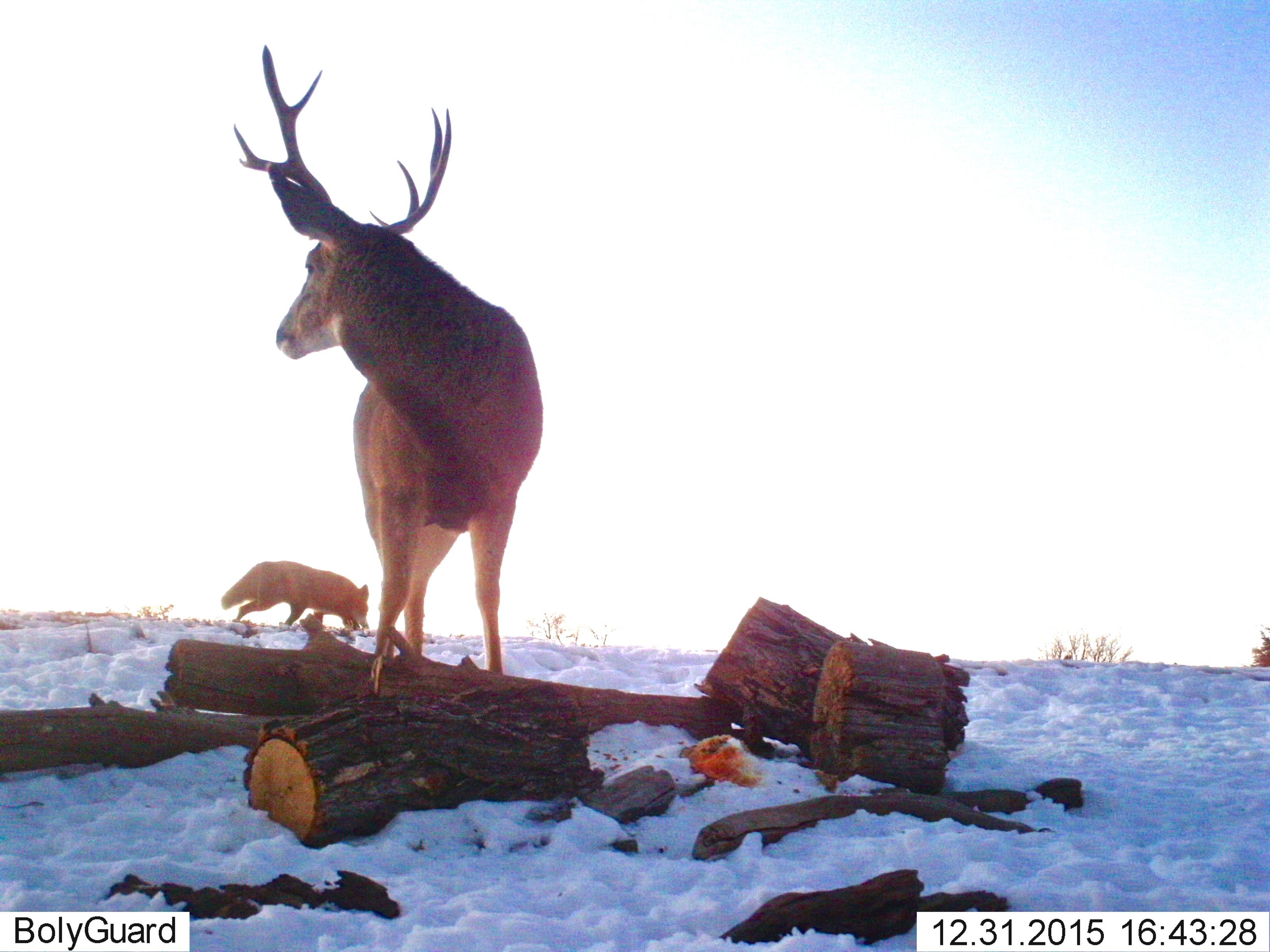 Mule Deer and Fox