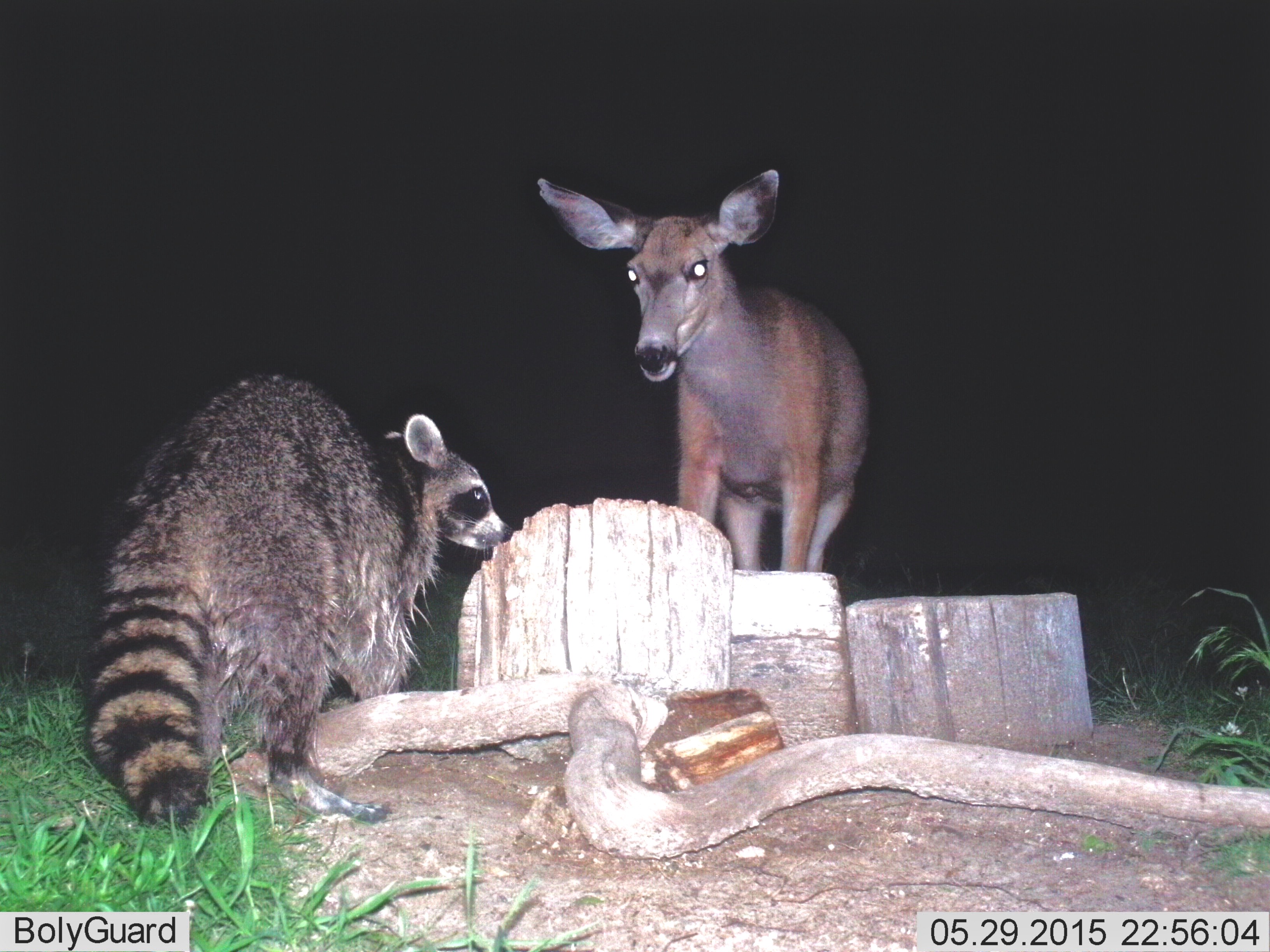Mule Deer and Raccoon