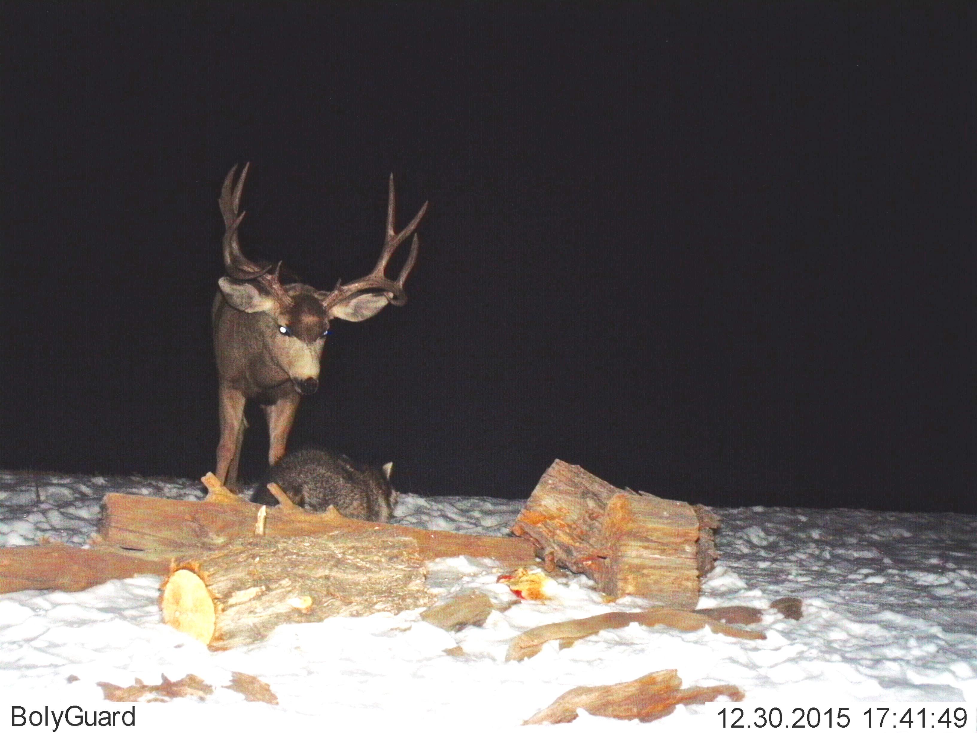 Mule Deer confronts Raccoon