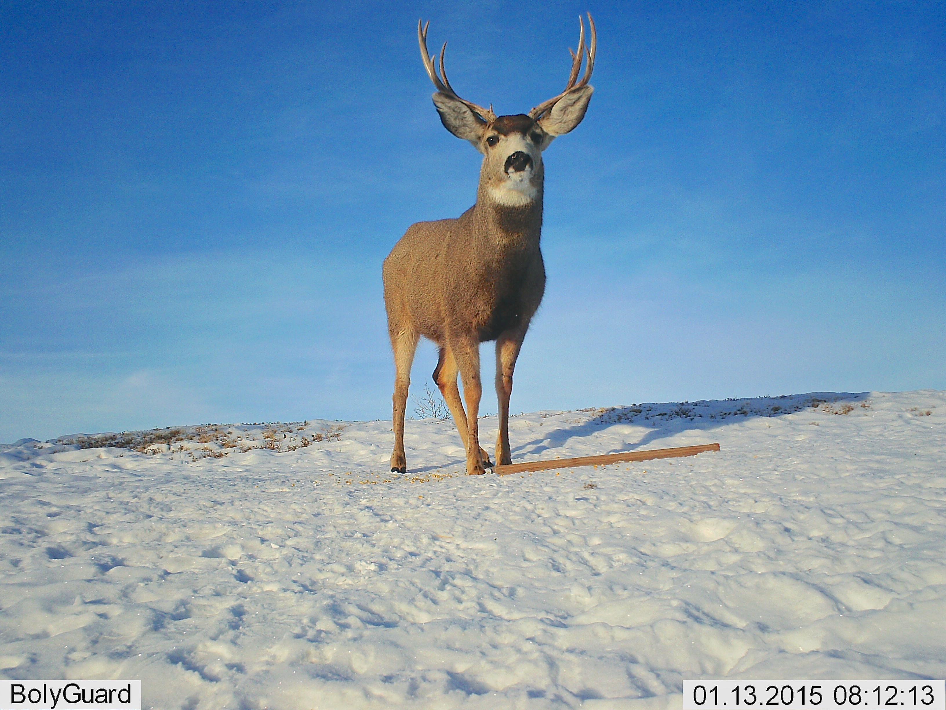 Beanie Flip (Mule Deer)
