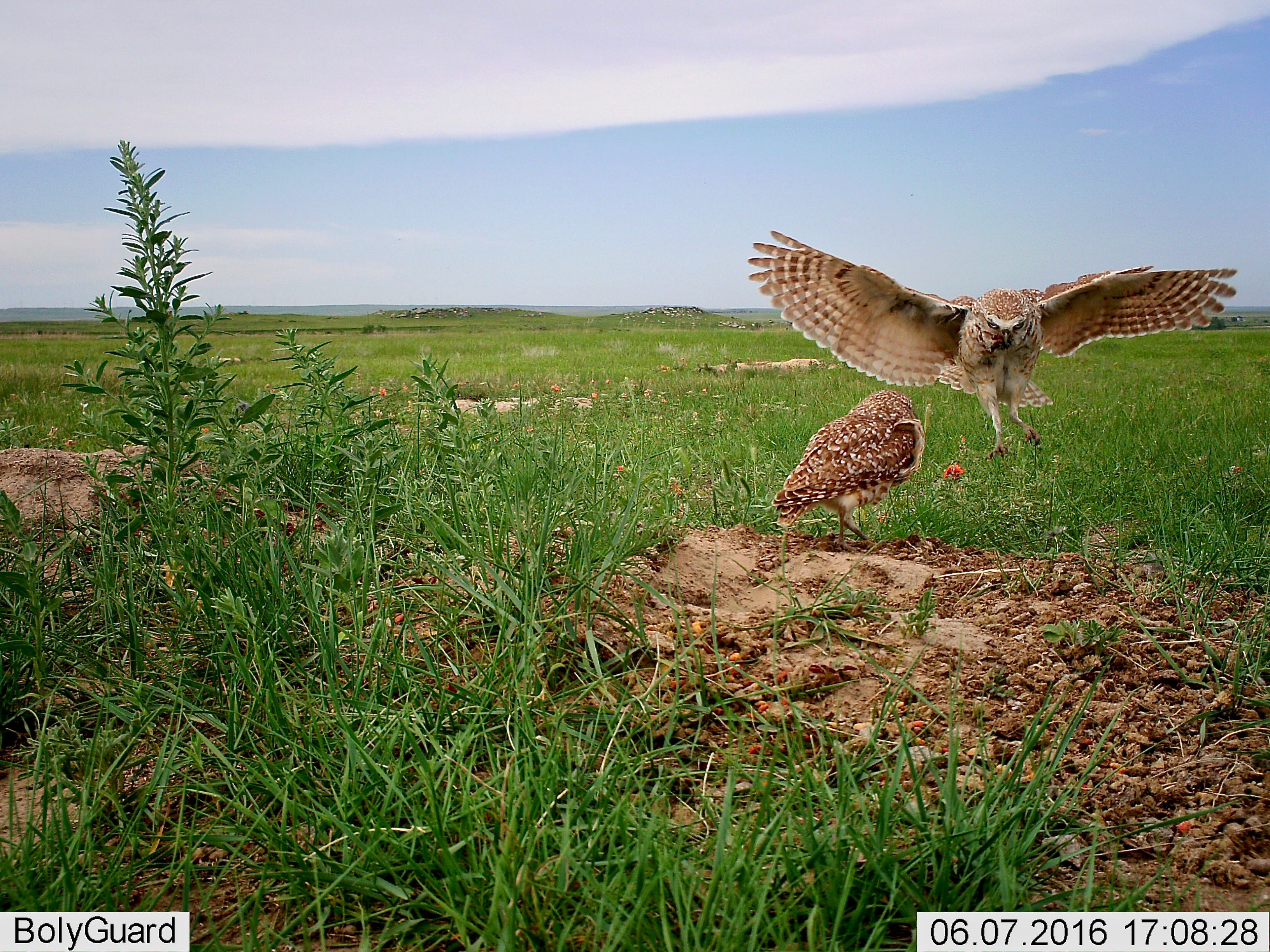 Burrowing Owl (The male, aloft, died)