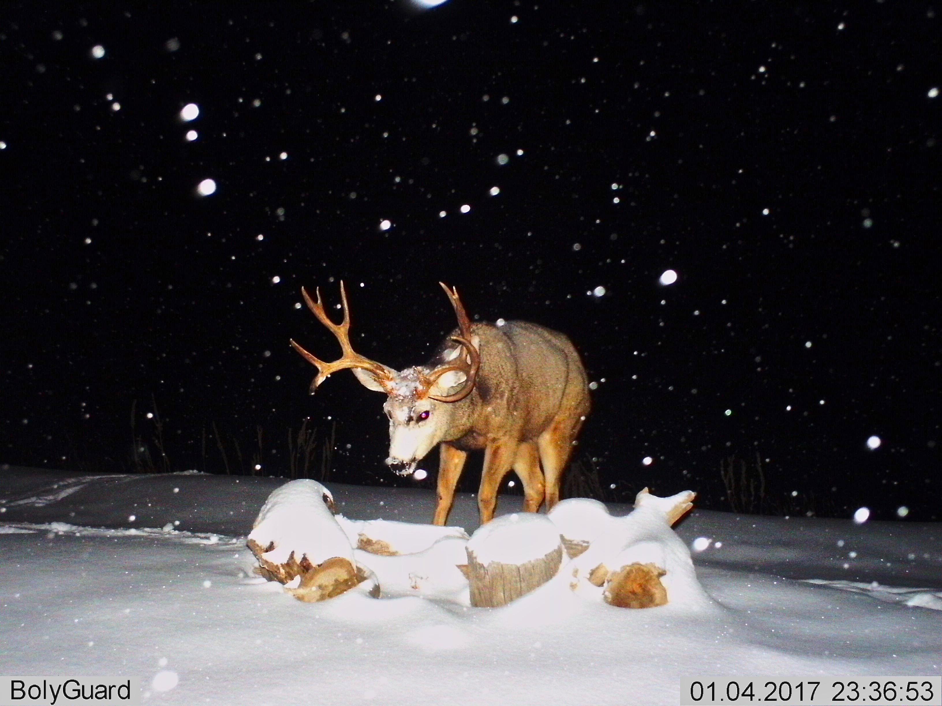 Mule Deer (5X5)