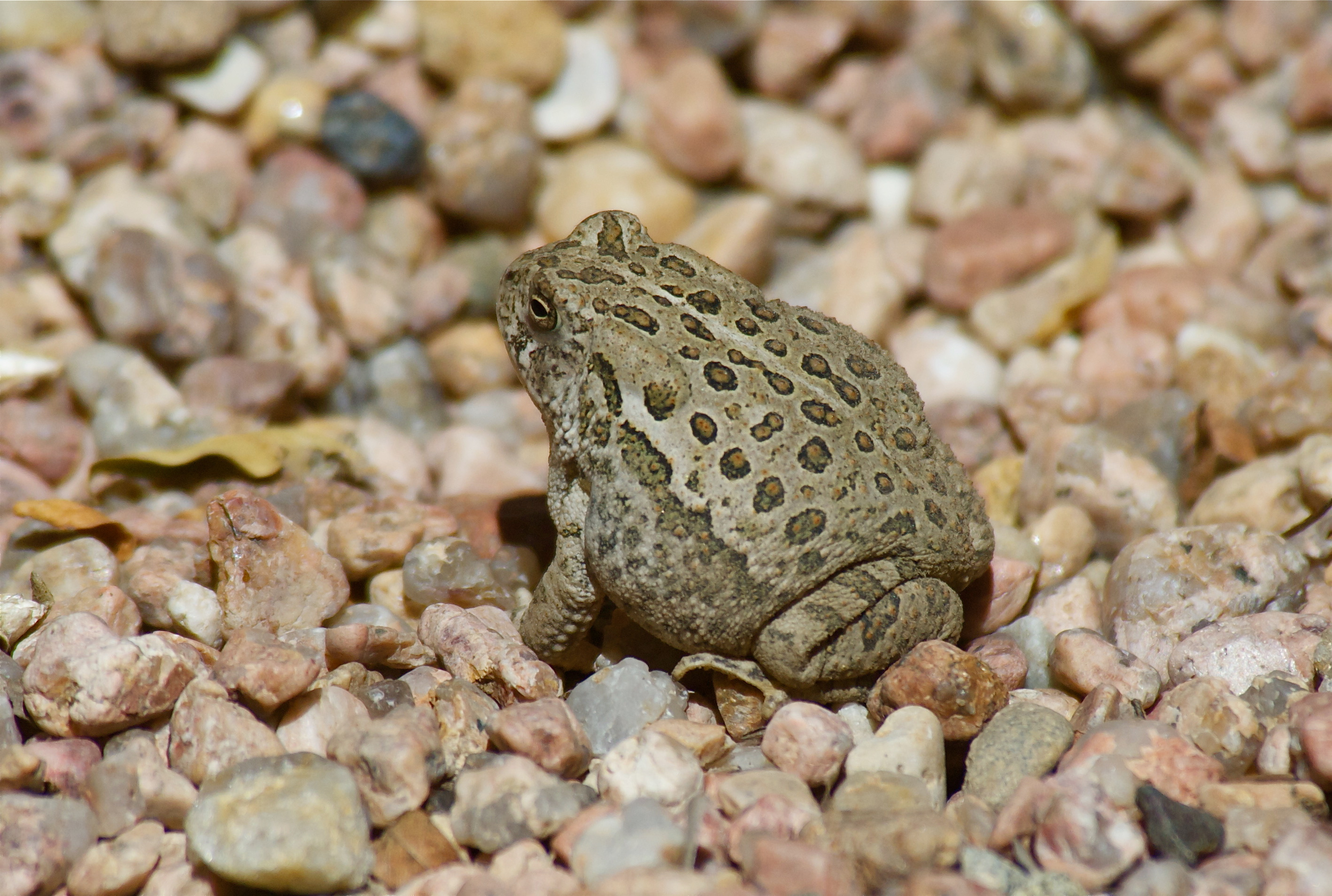 Toad at the River