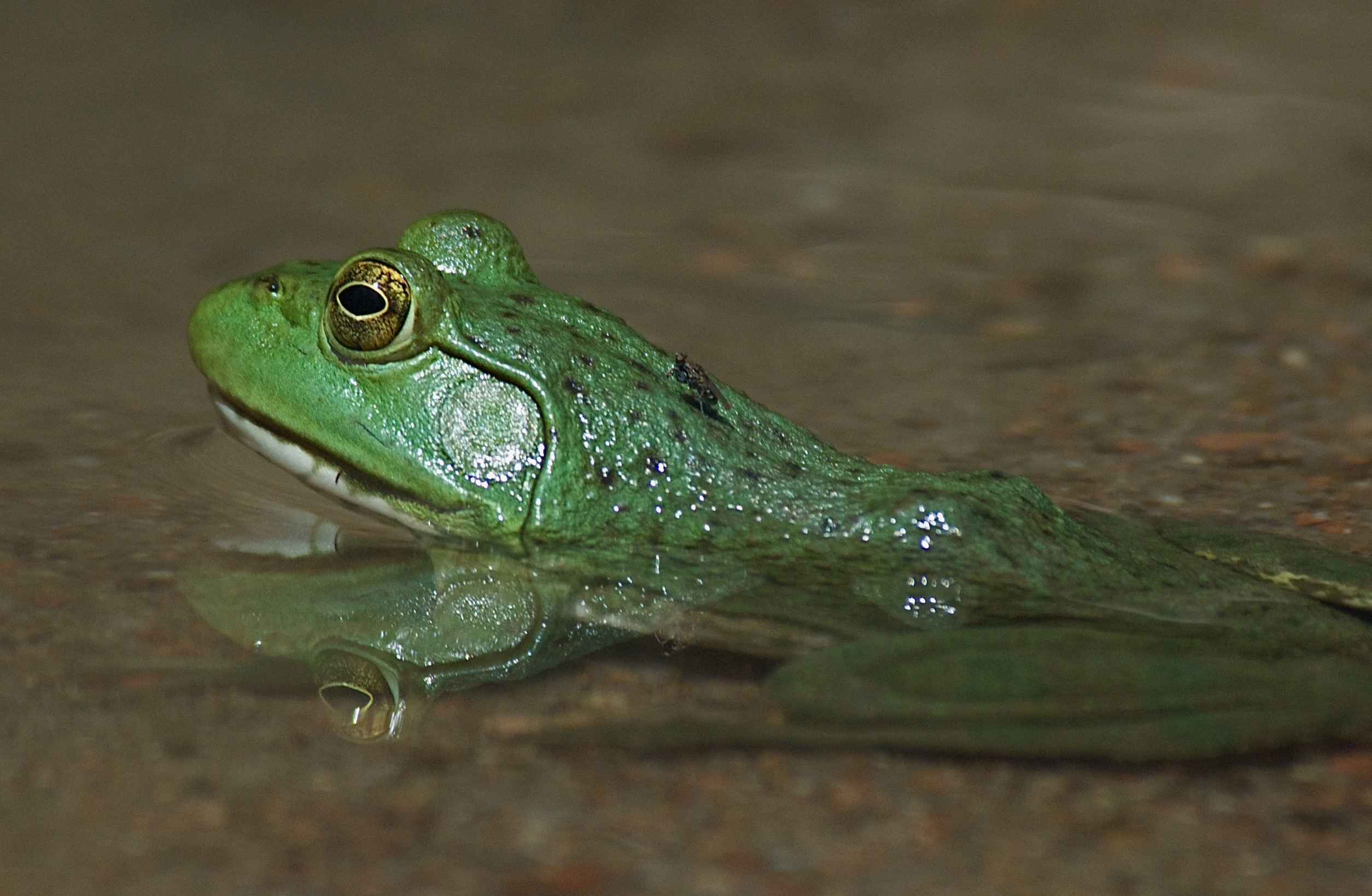 Bullfrog with Fly