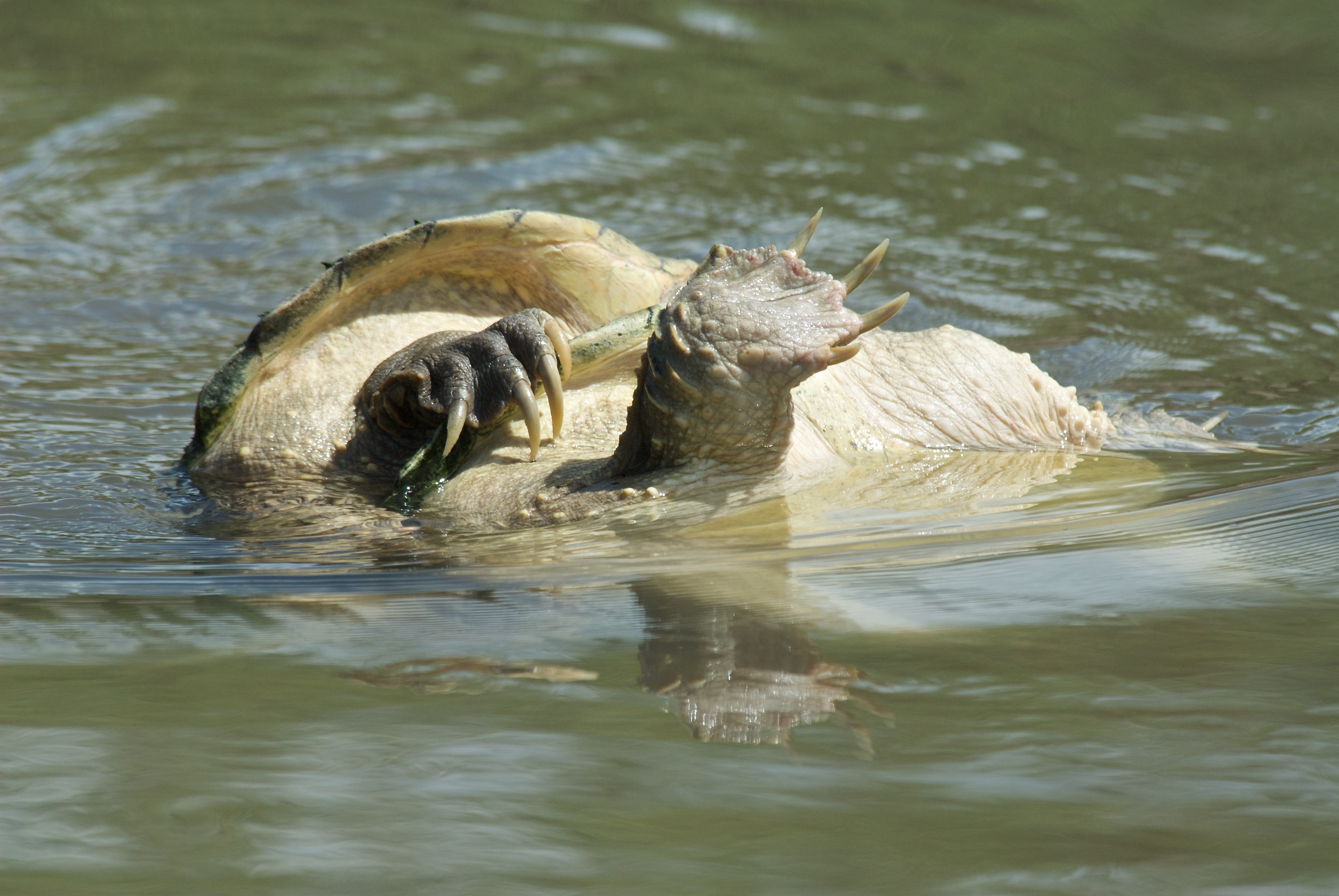 Snapping Turtles Mating
