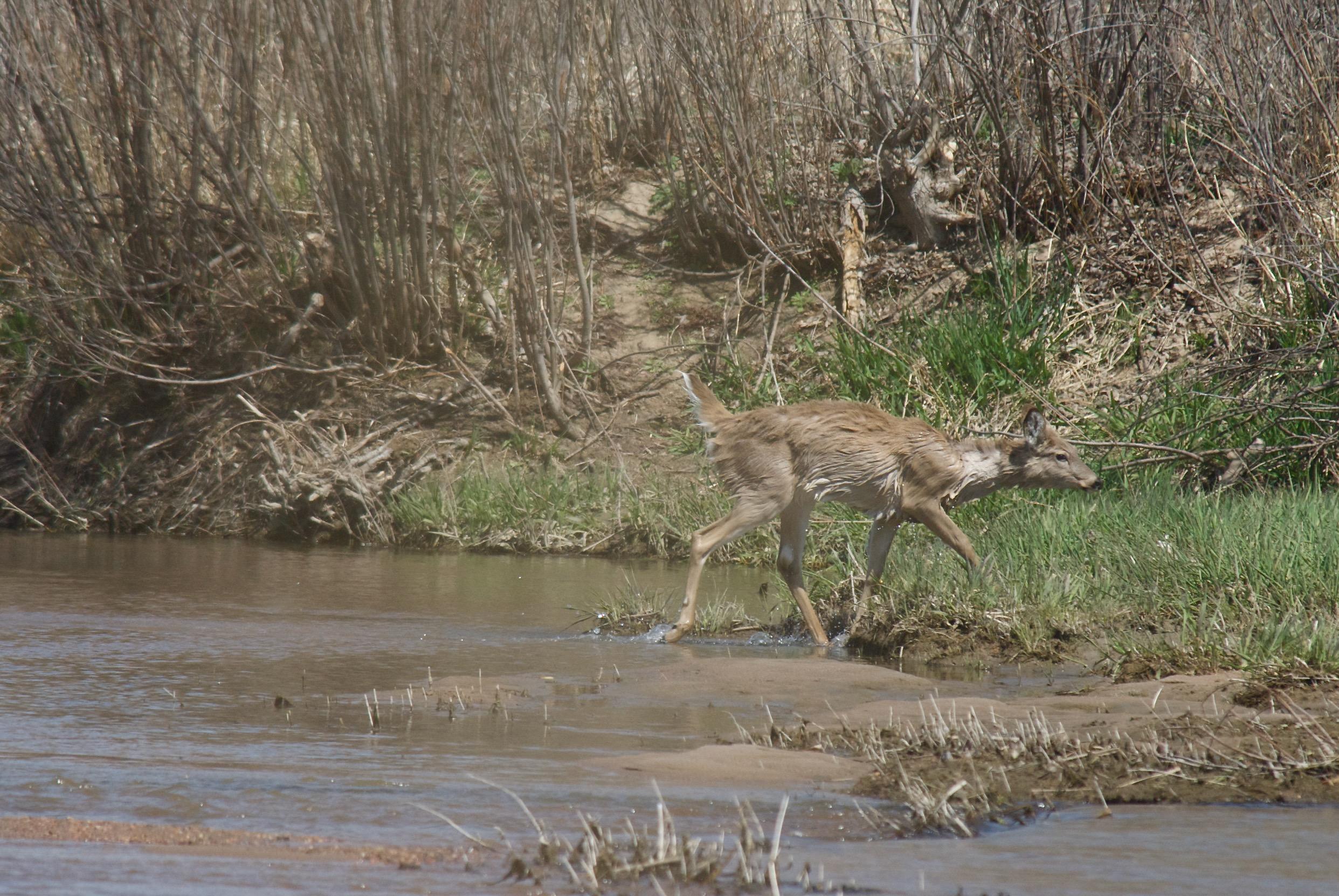 Wet White-Tailed Deer