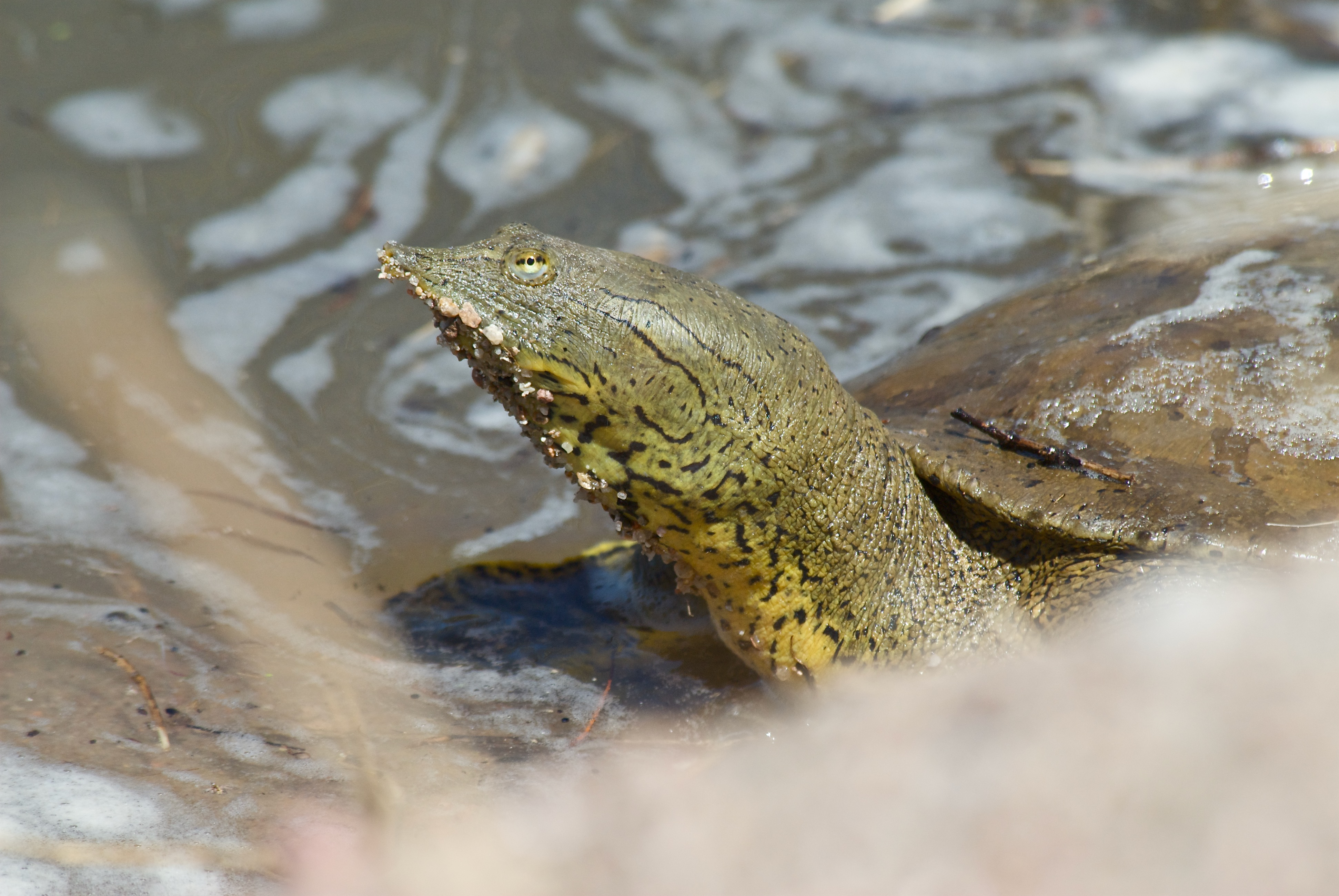 Spiny Soft-Shelled Turtle