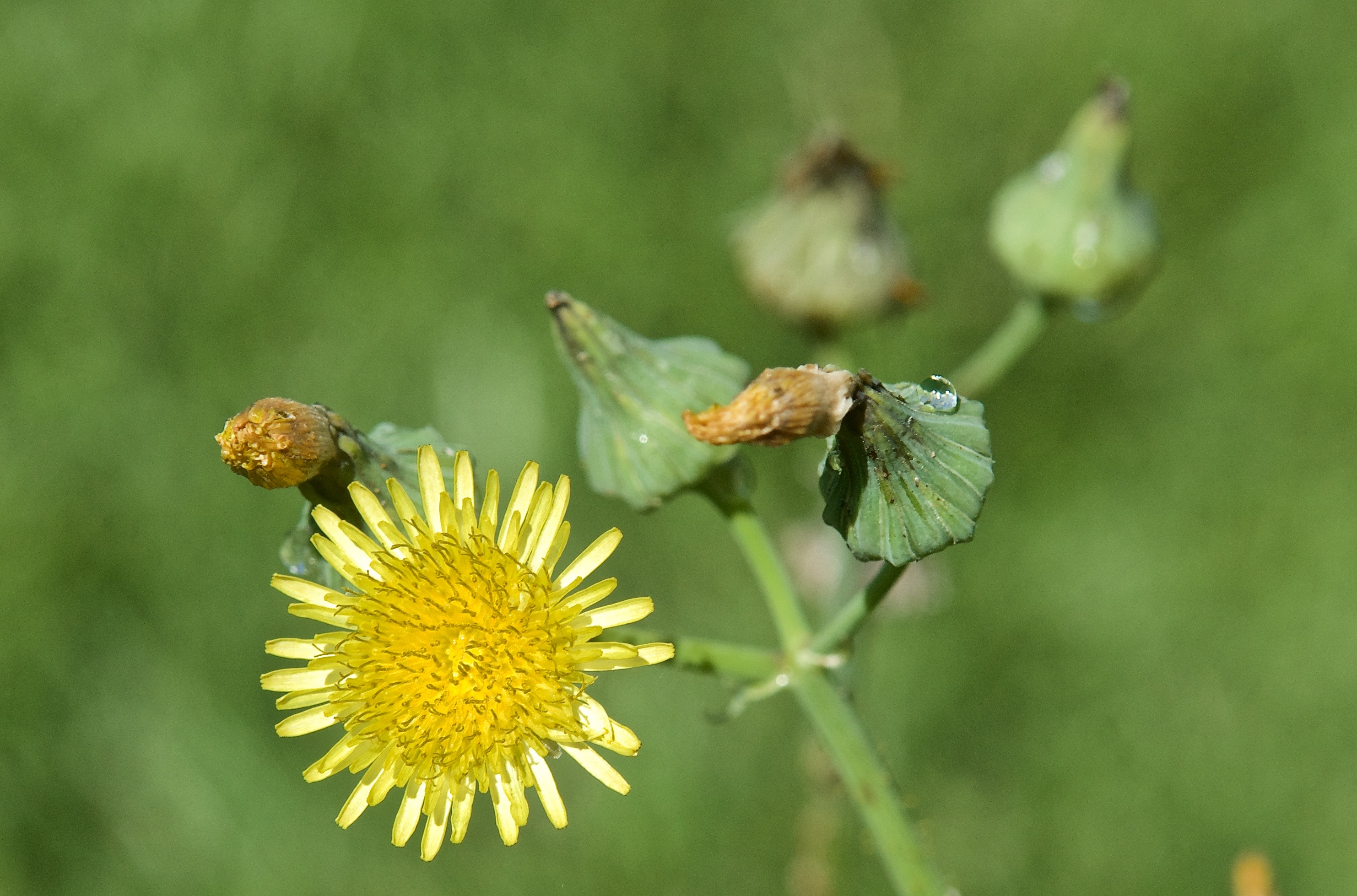 Spiny Sowthistle (Sonchus asper) (Introduced)