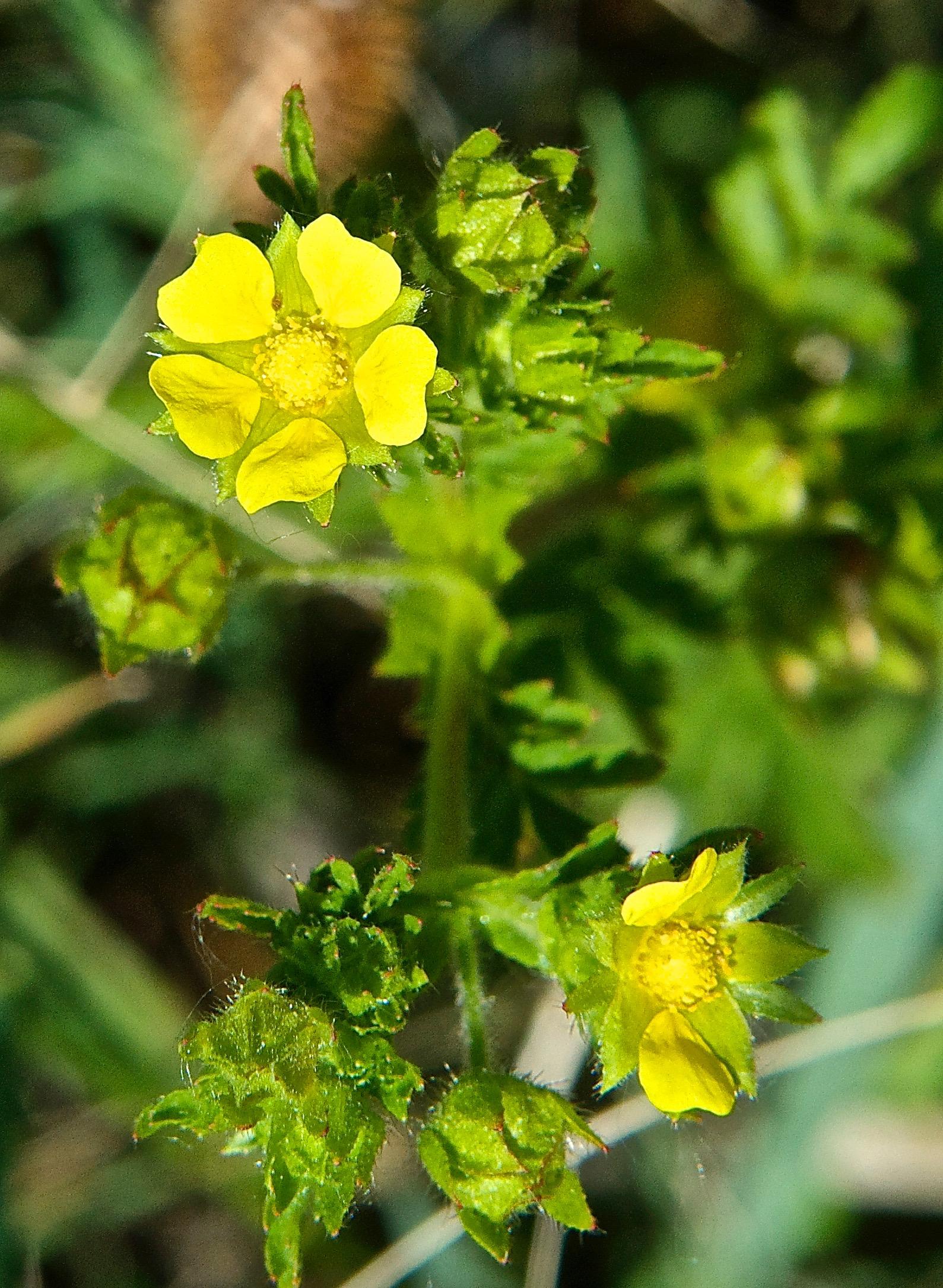 Cinquefoil  (Potentilla sp.)