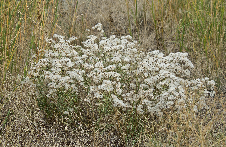 Hairy Goldenaster  (Heterotheca villosa) (In Decline)