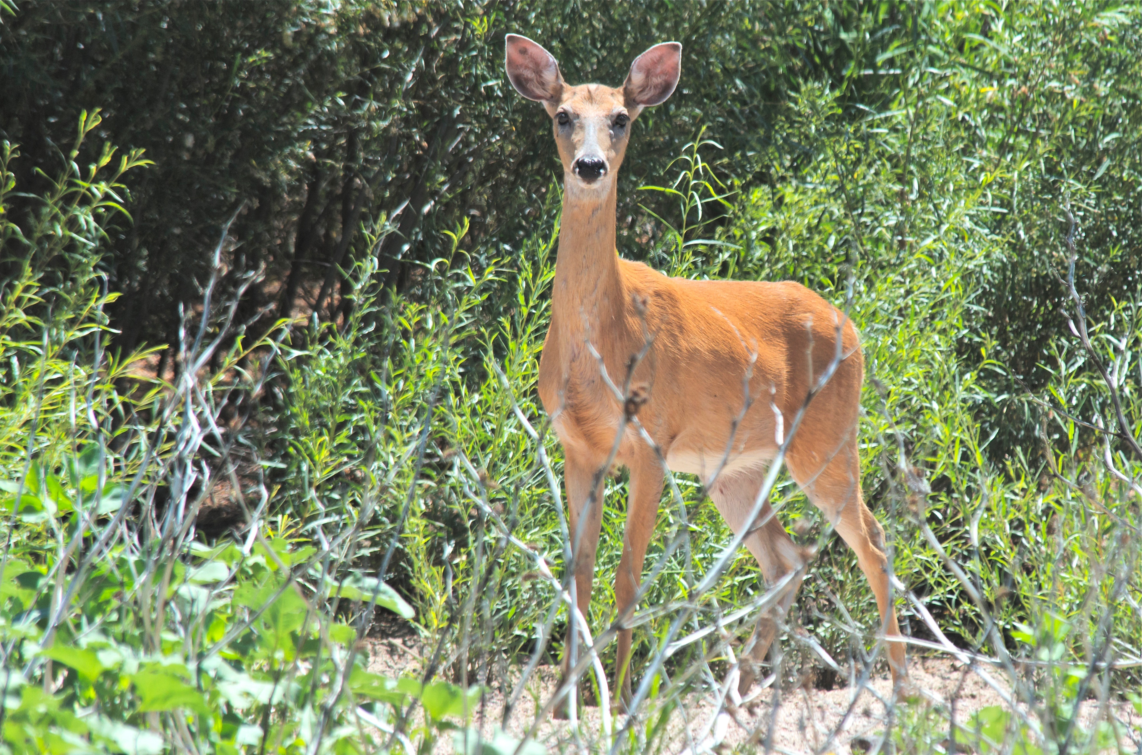 White-Tailed Deer (Summer Red)