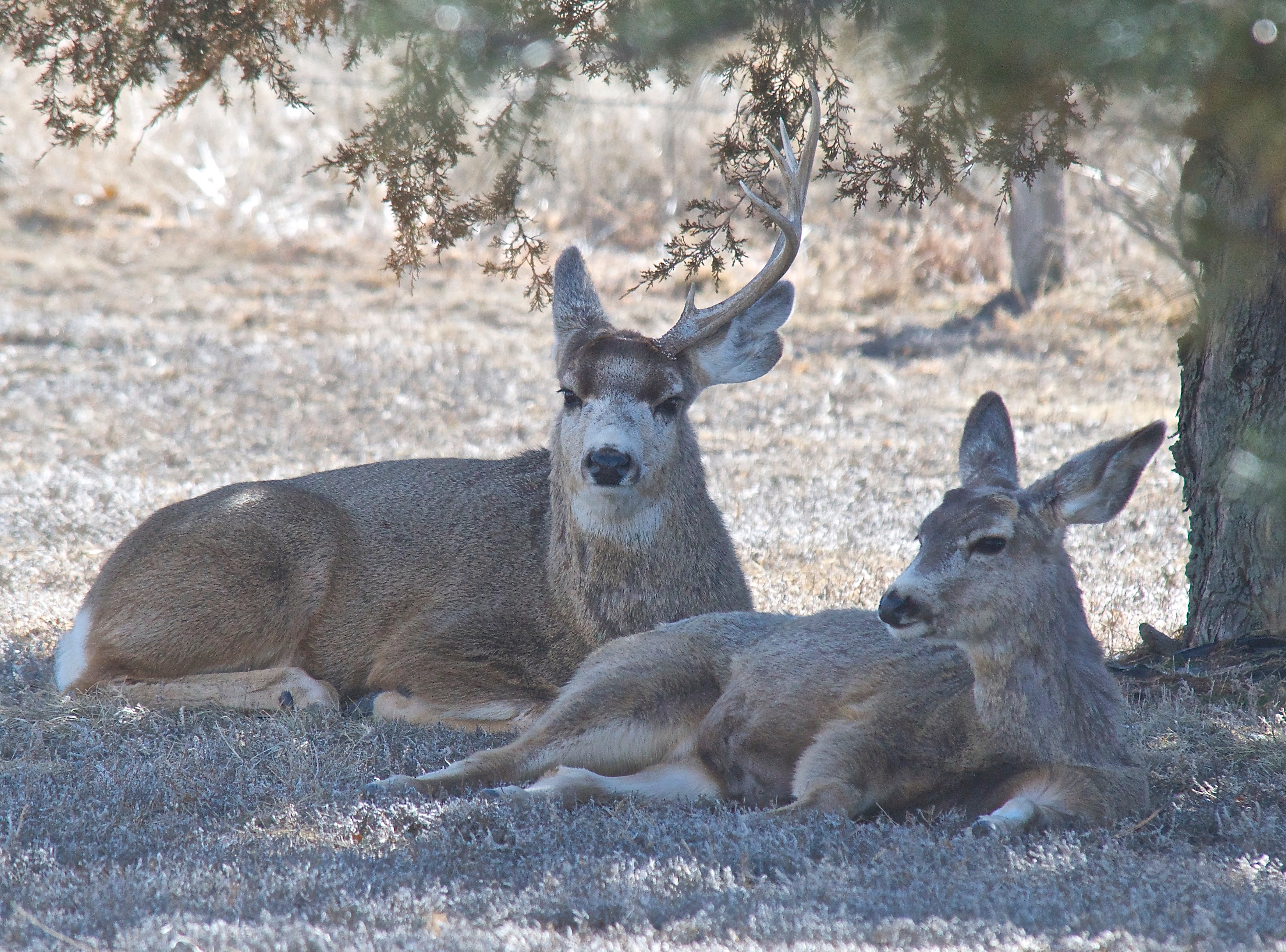 Mule Deer (Split Ear with one Antler) (3-3-14)