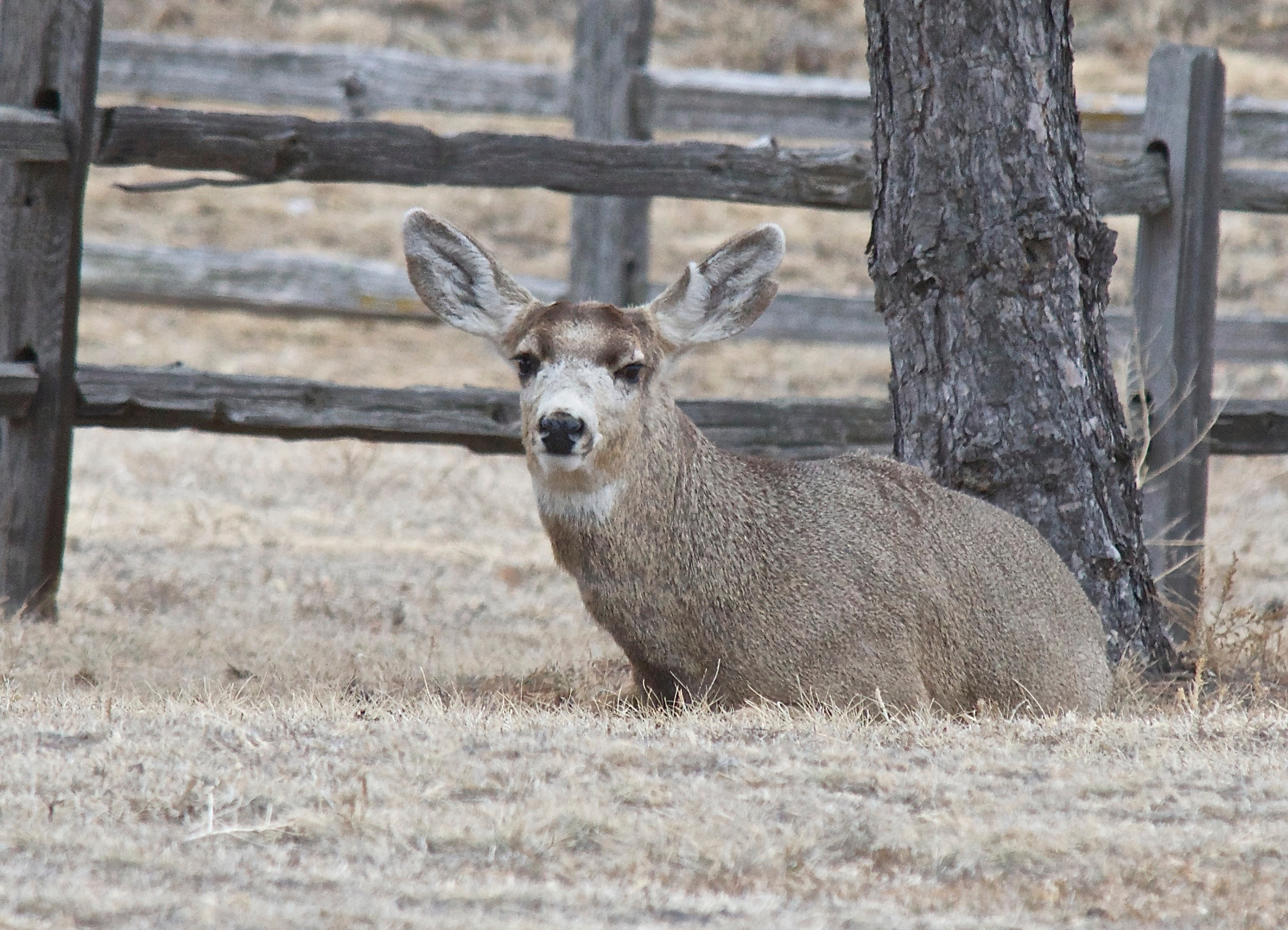 Mule Deer (Split-Ear, antlerless) (3-4-14)