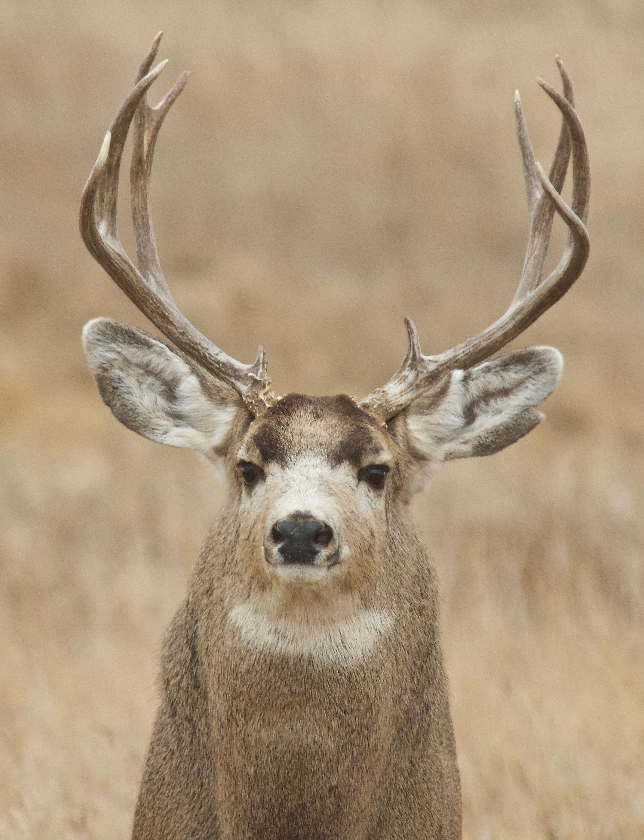 Mule Deer  (Split Ear)