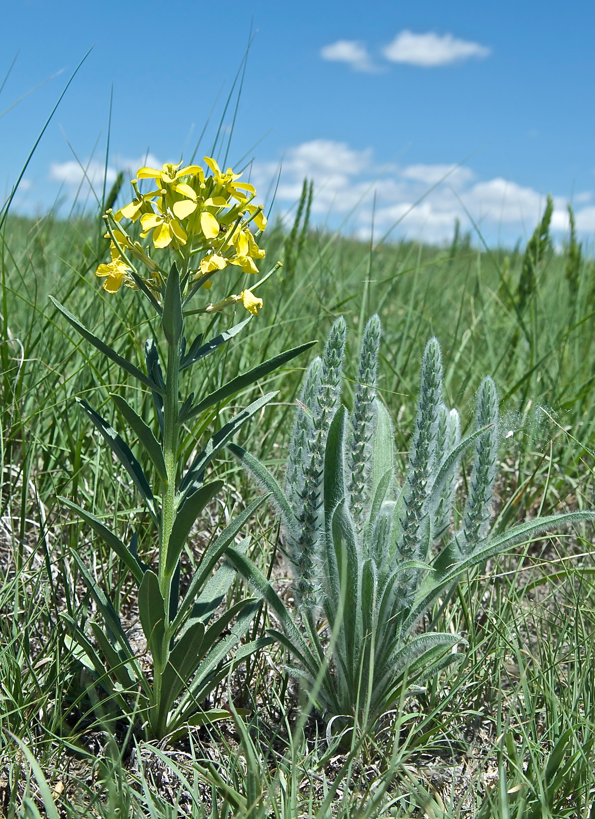 Woolly Plantain (Plantago patagonica) with Wallflower