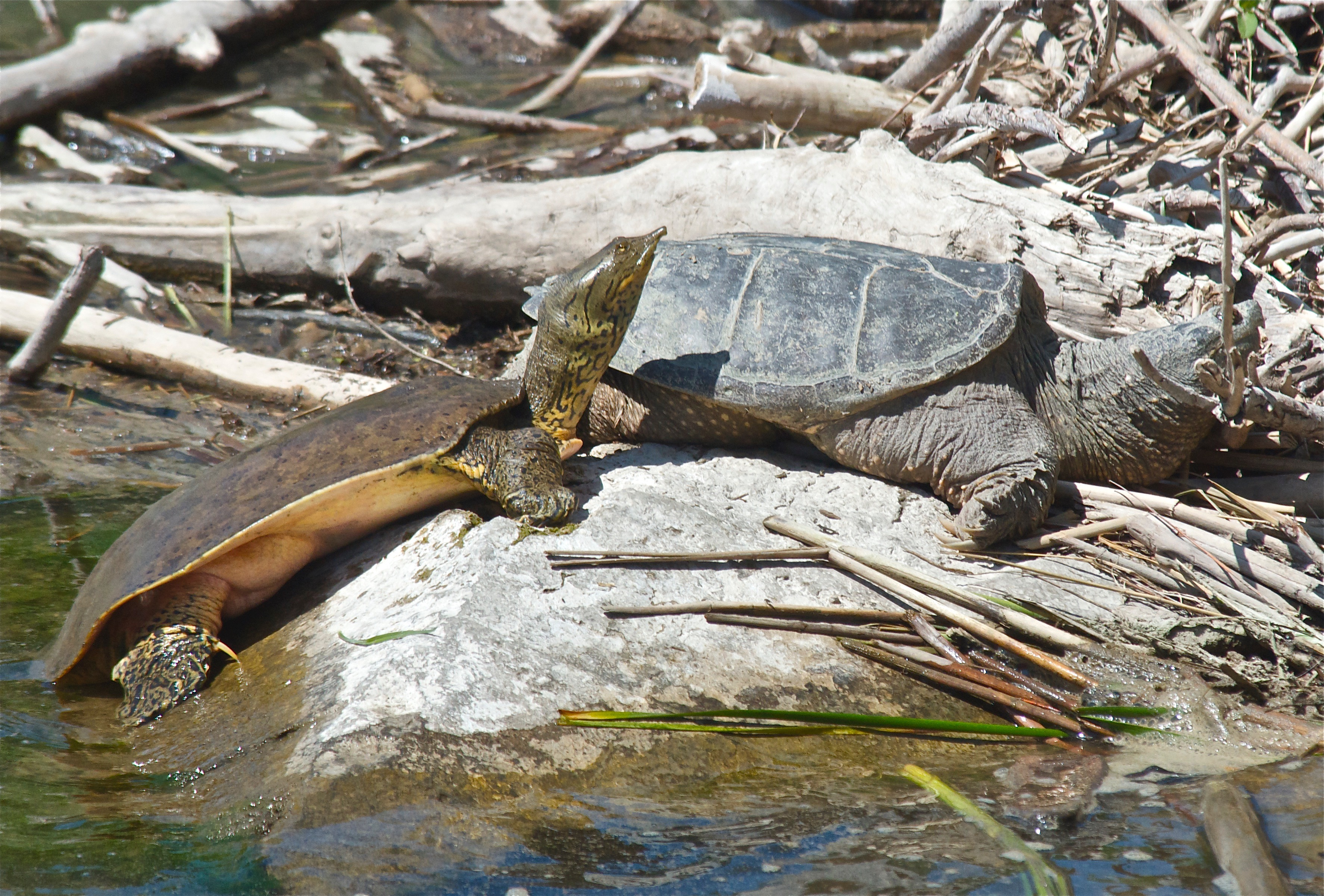 Spiny and Snapping Turtle