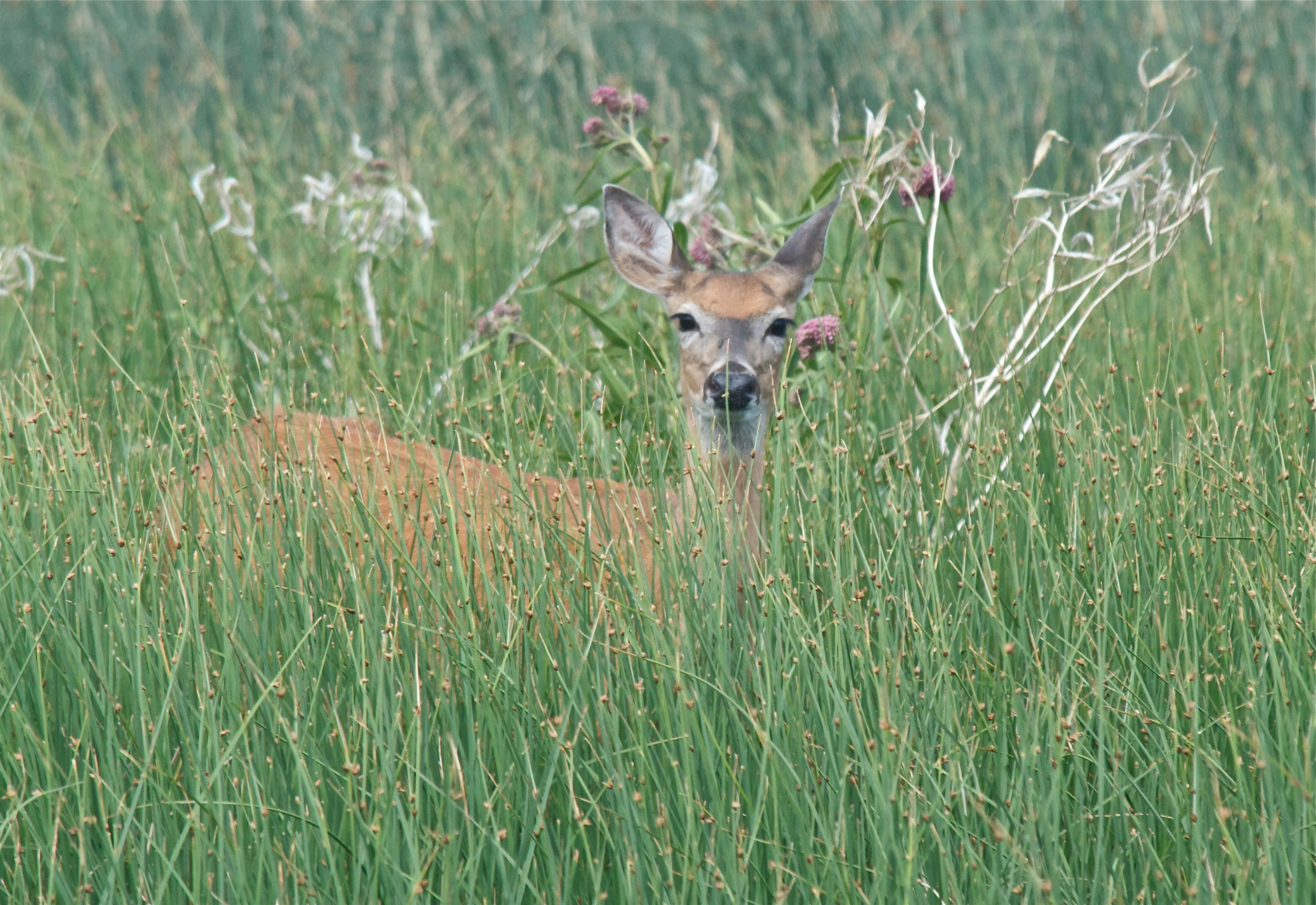 White-Tailed Deer (now red) Below Dam