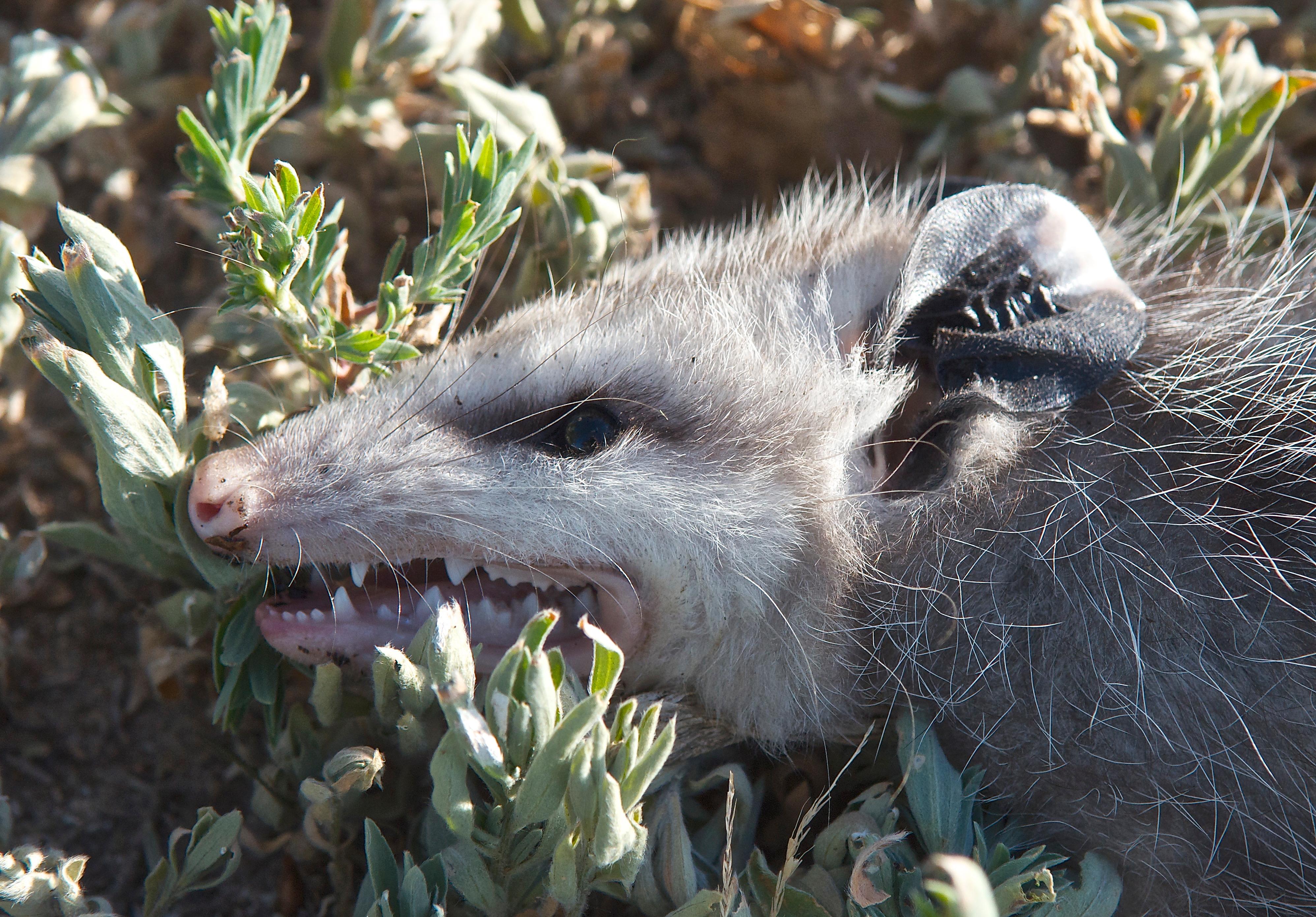 """""""Dead Opossum"""""""