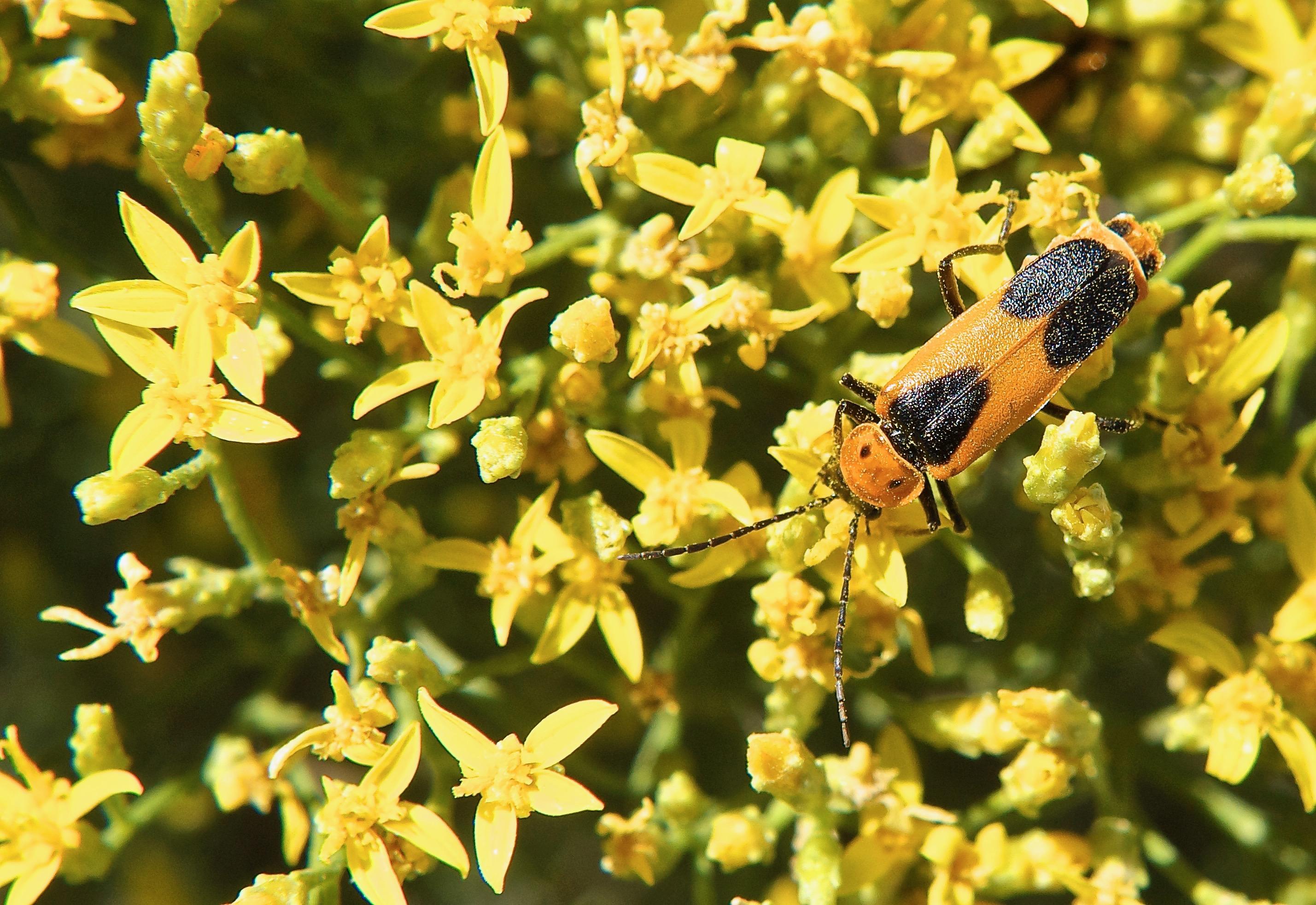 Soldier Beetle on Broom Snakeweed Plant