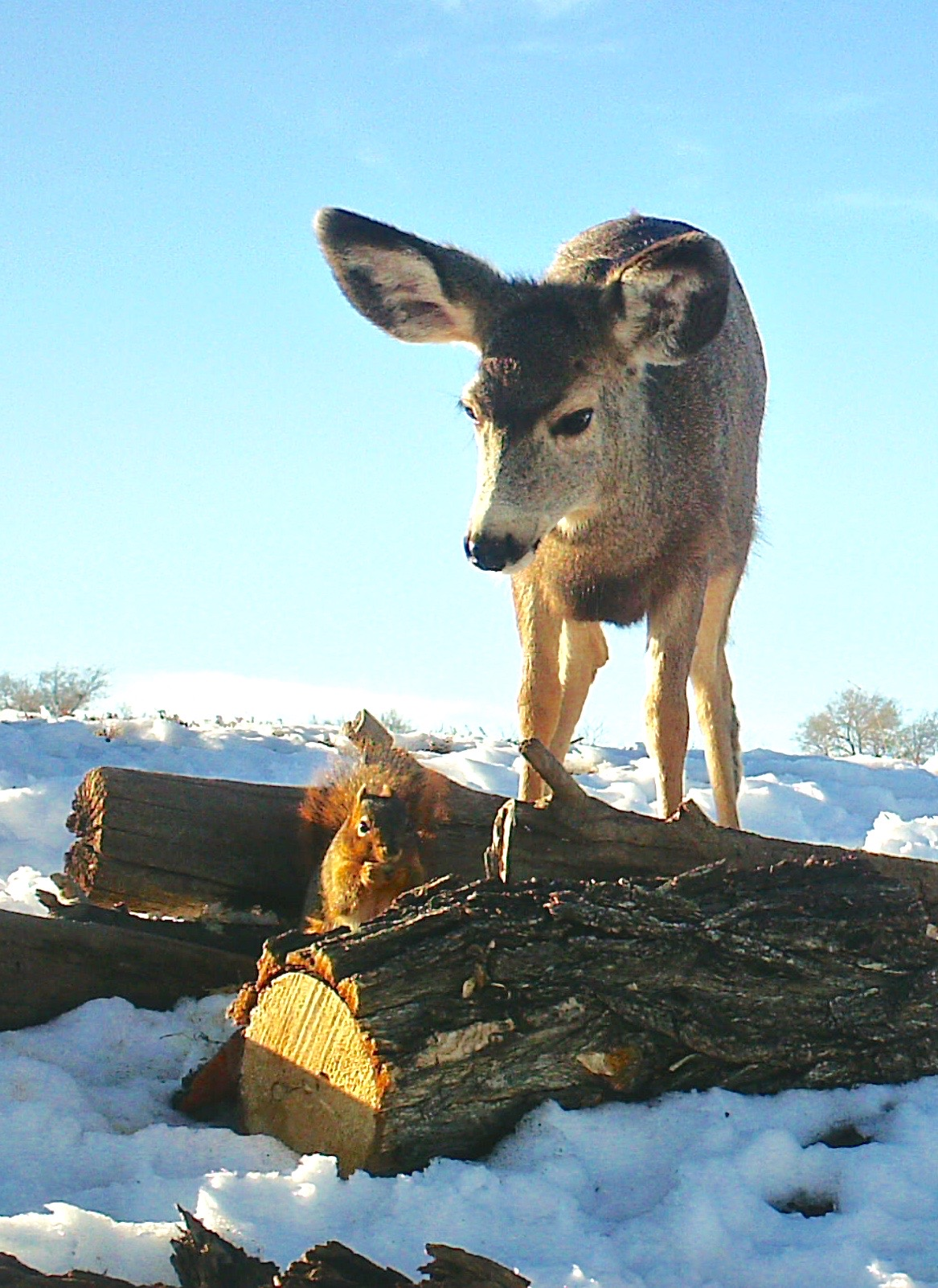 Mule Deer Eying Squirrel