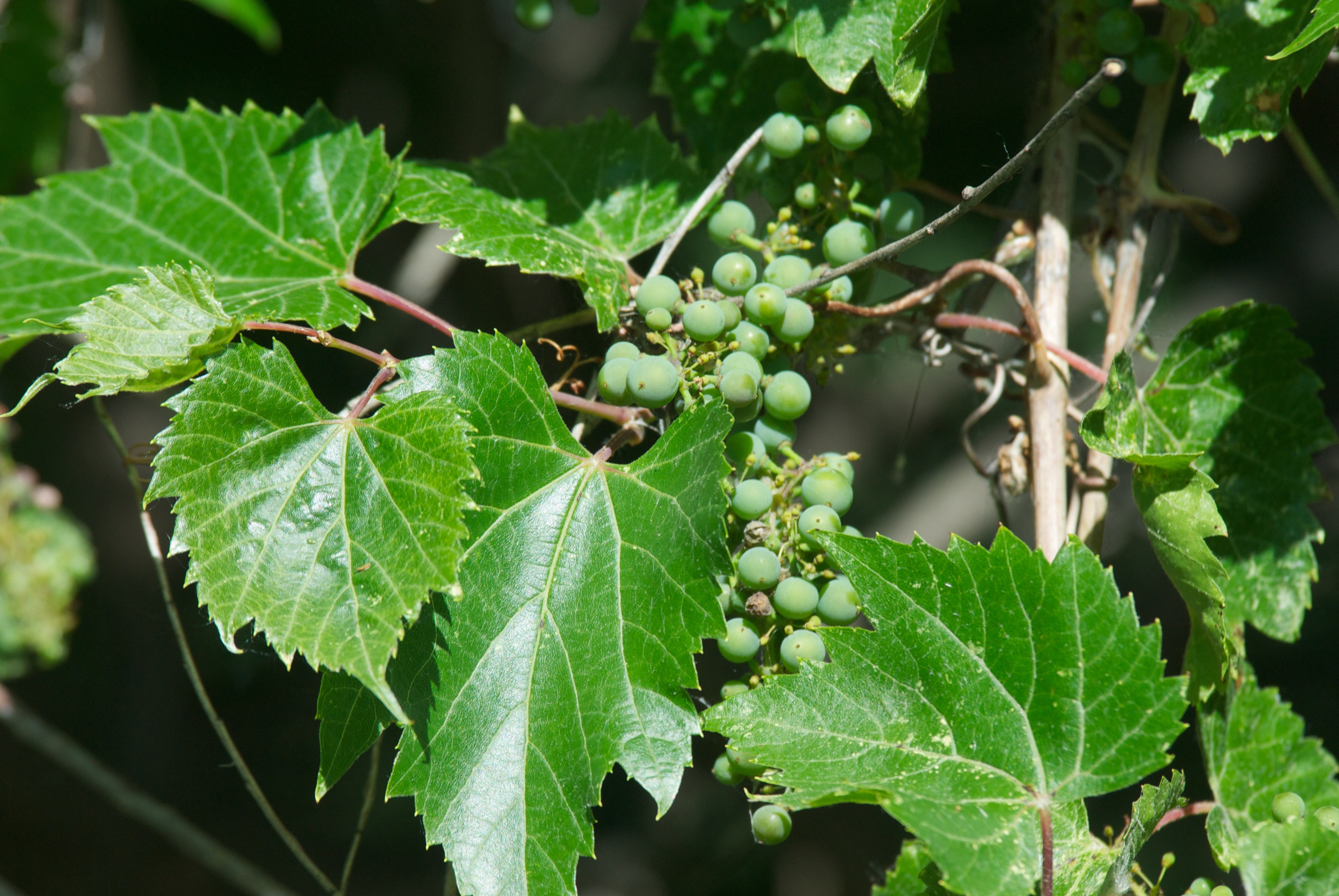 Grapes at the River