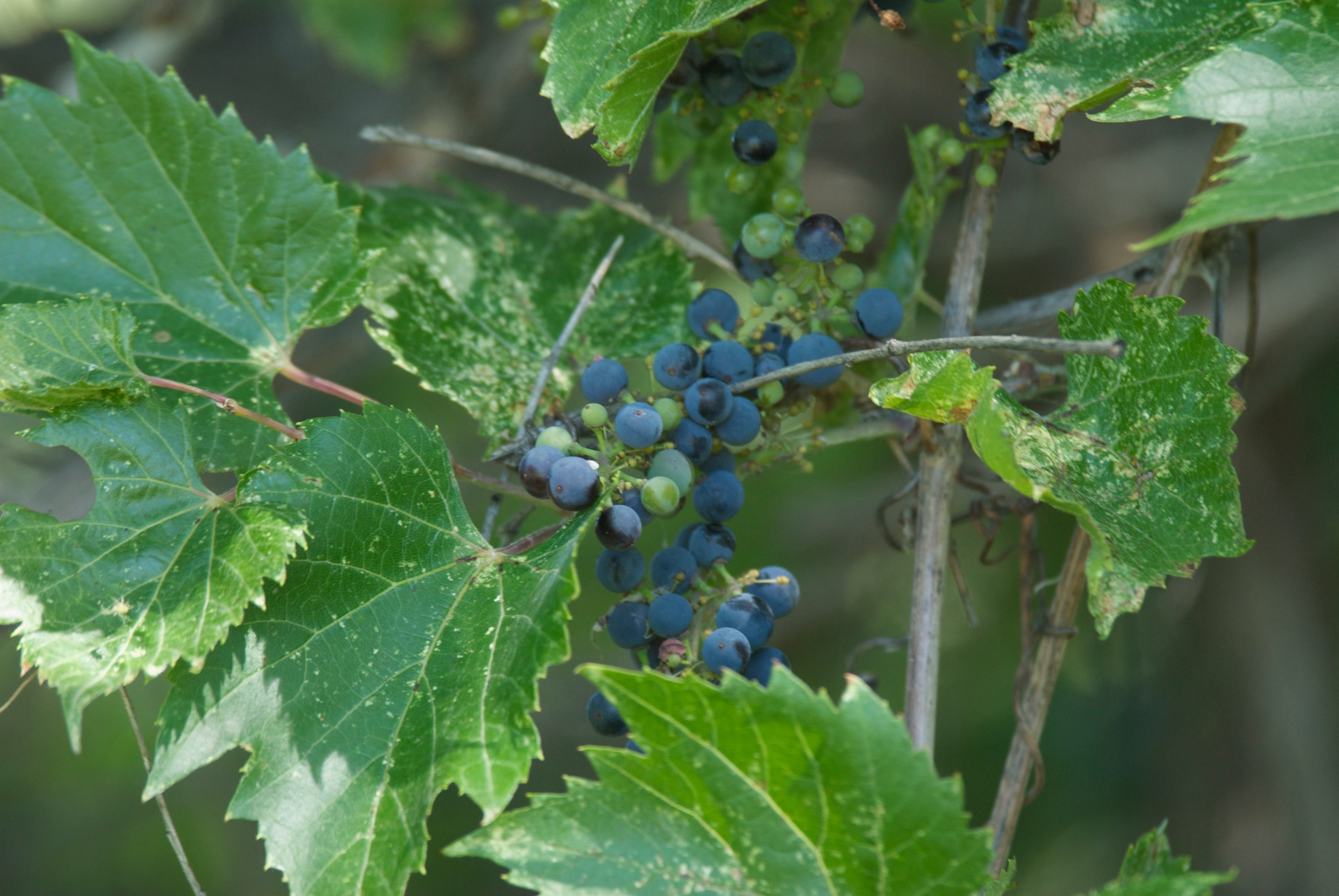 Grapes at the River (Vitis riparia)