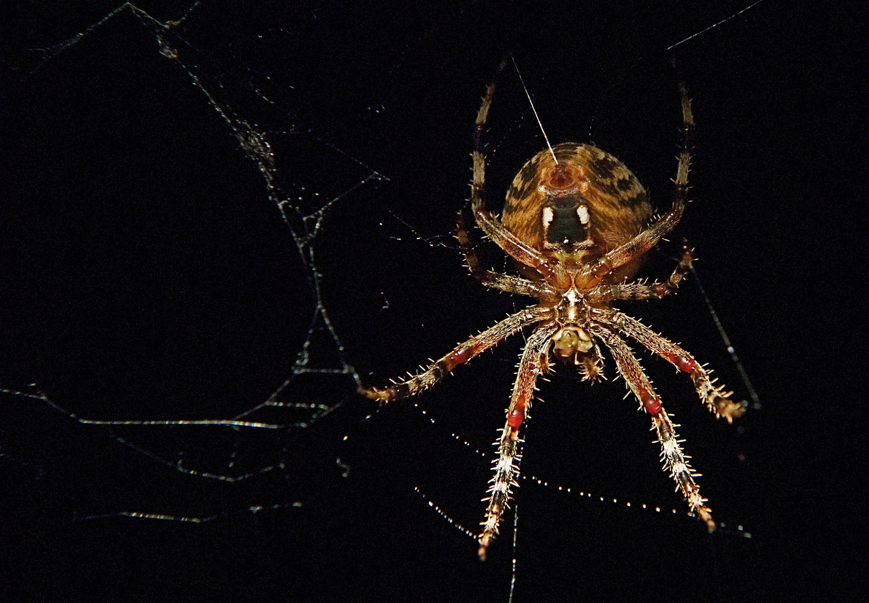 Orb-Weaving Spider (Botom shooting wed)