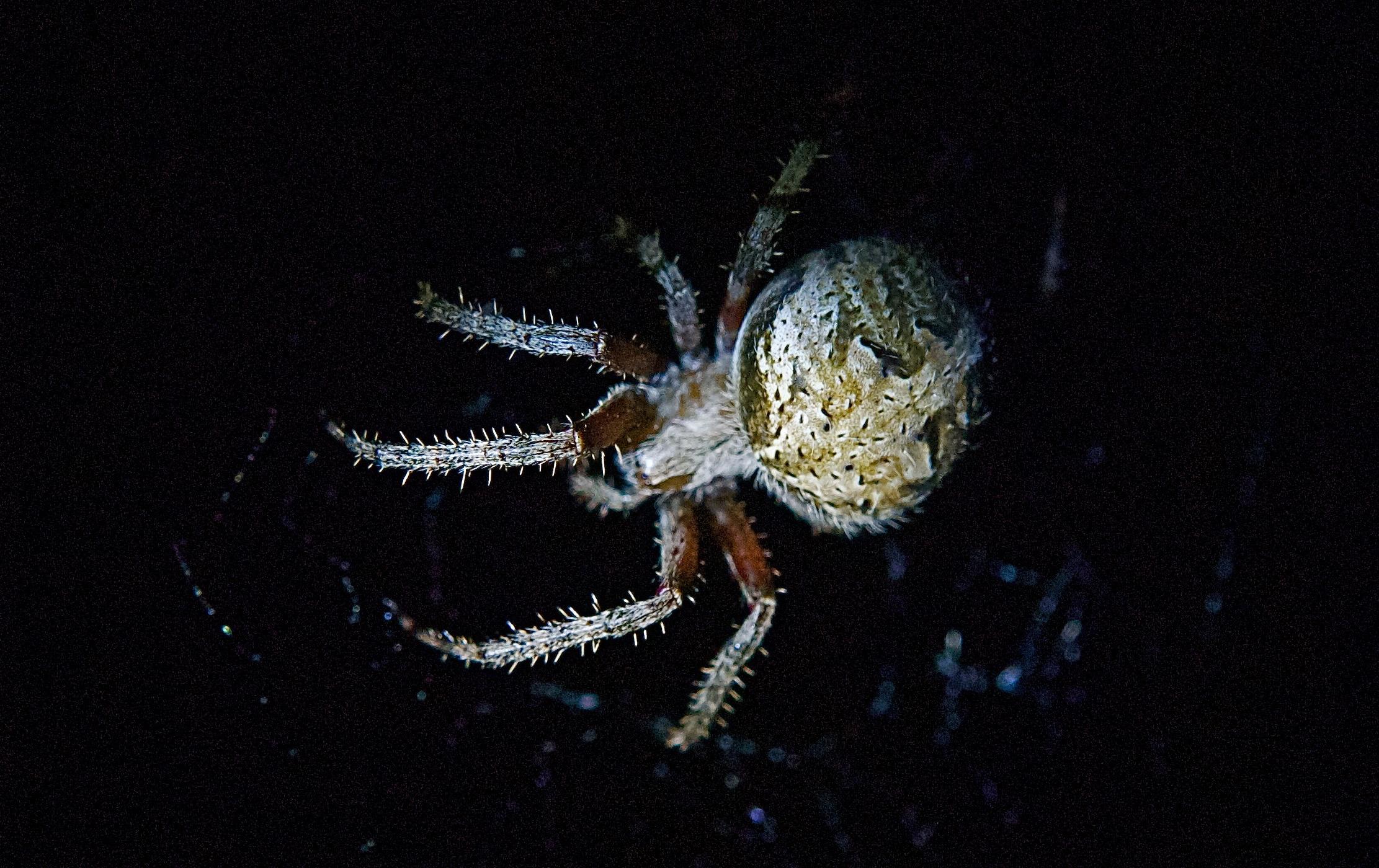 Orb-Weaving Spider (Top)