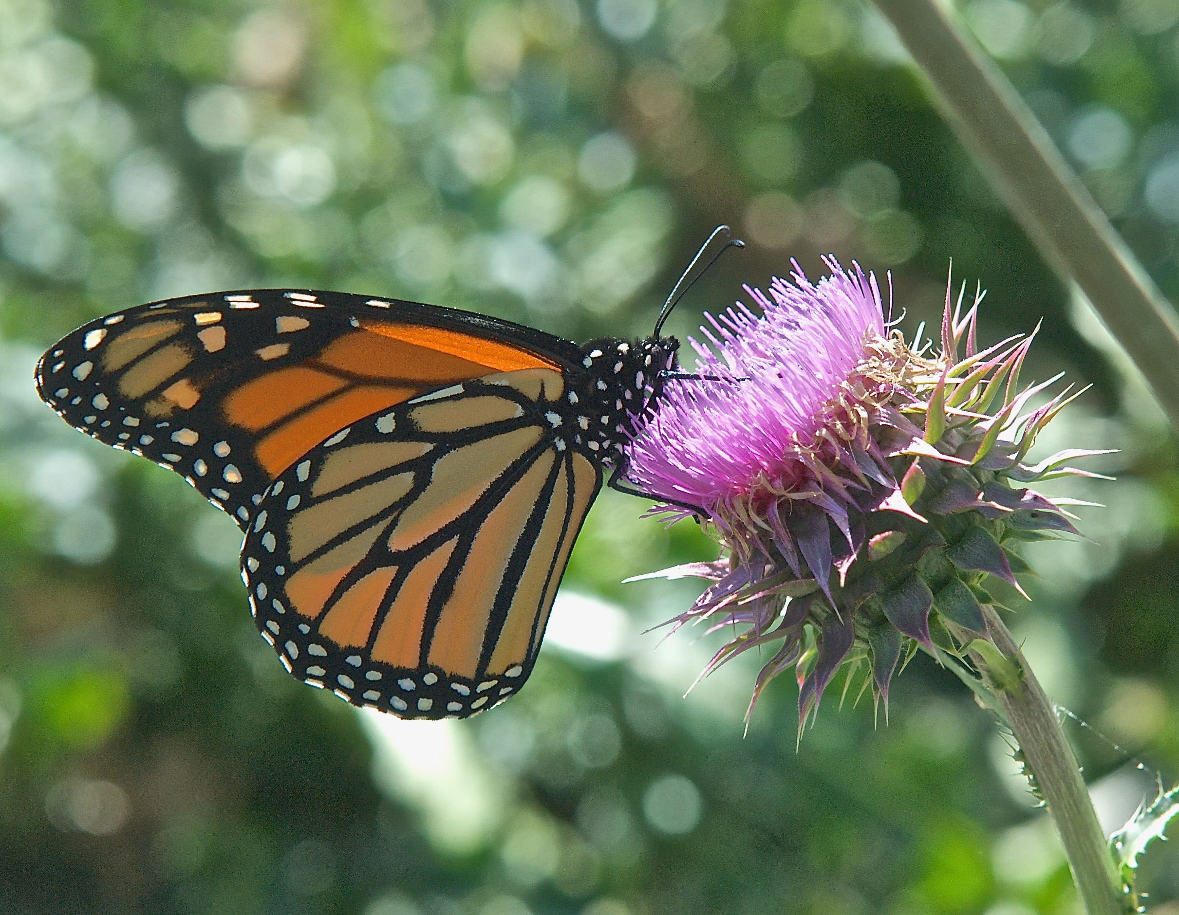 Monarch Butterfly (Danaus Plexippus) on Musk Thistle