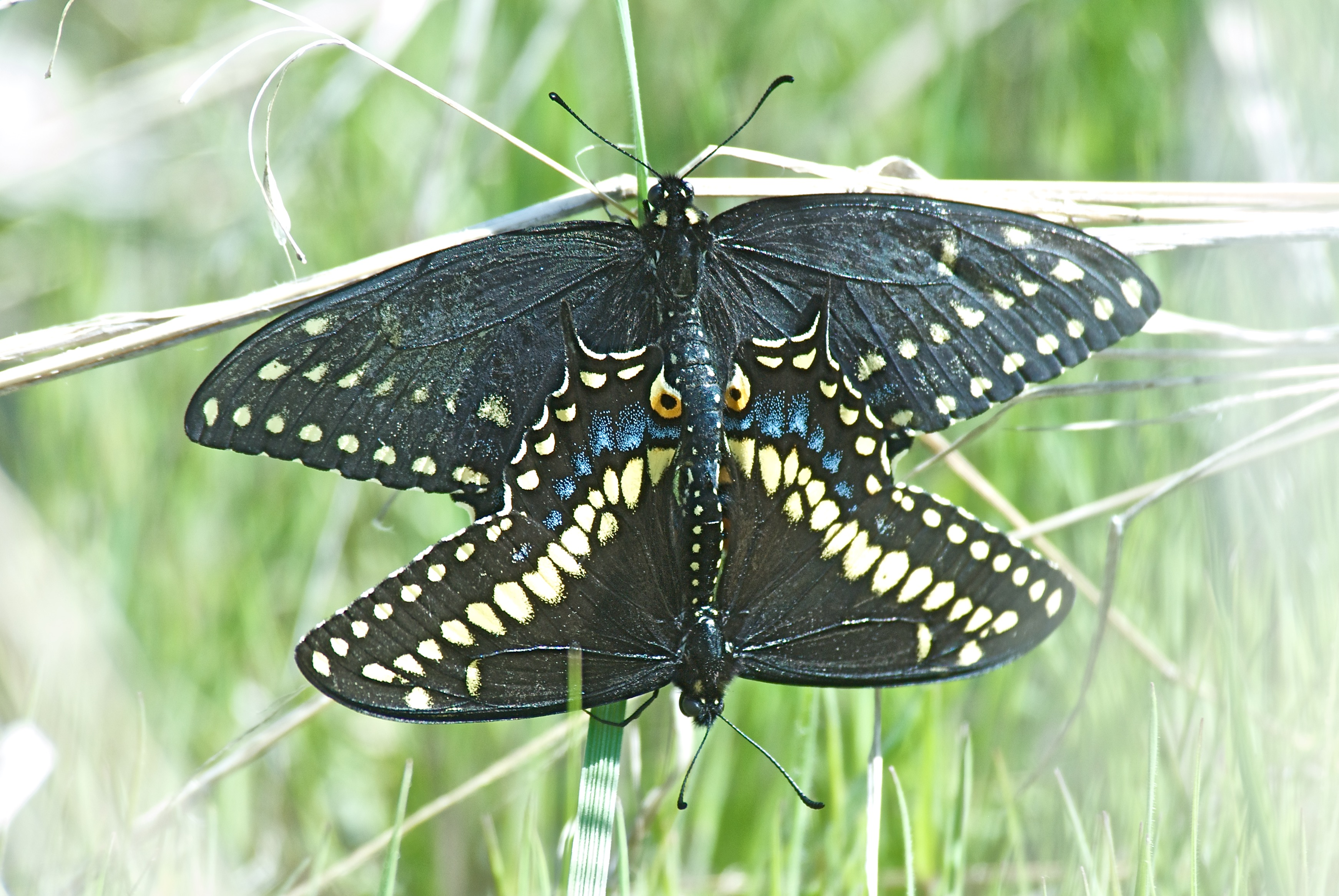 Indra Indra Swallowtail Butterfly (Papilio indra indra)