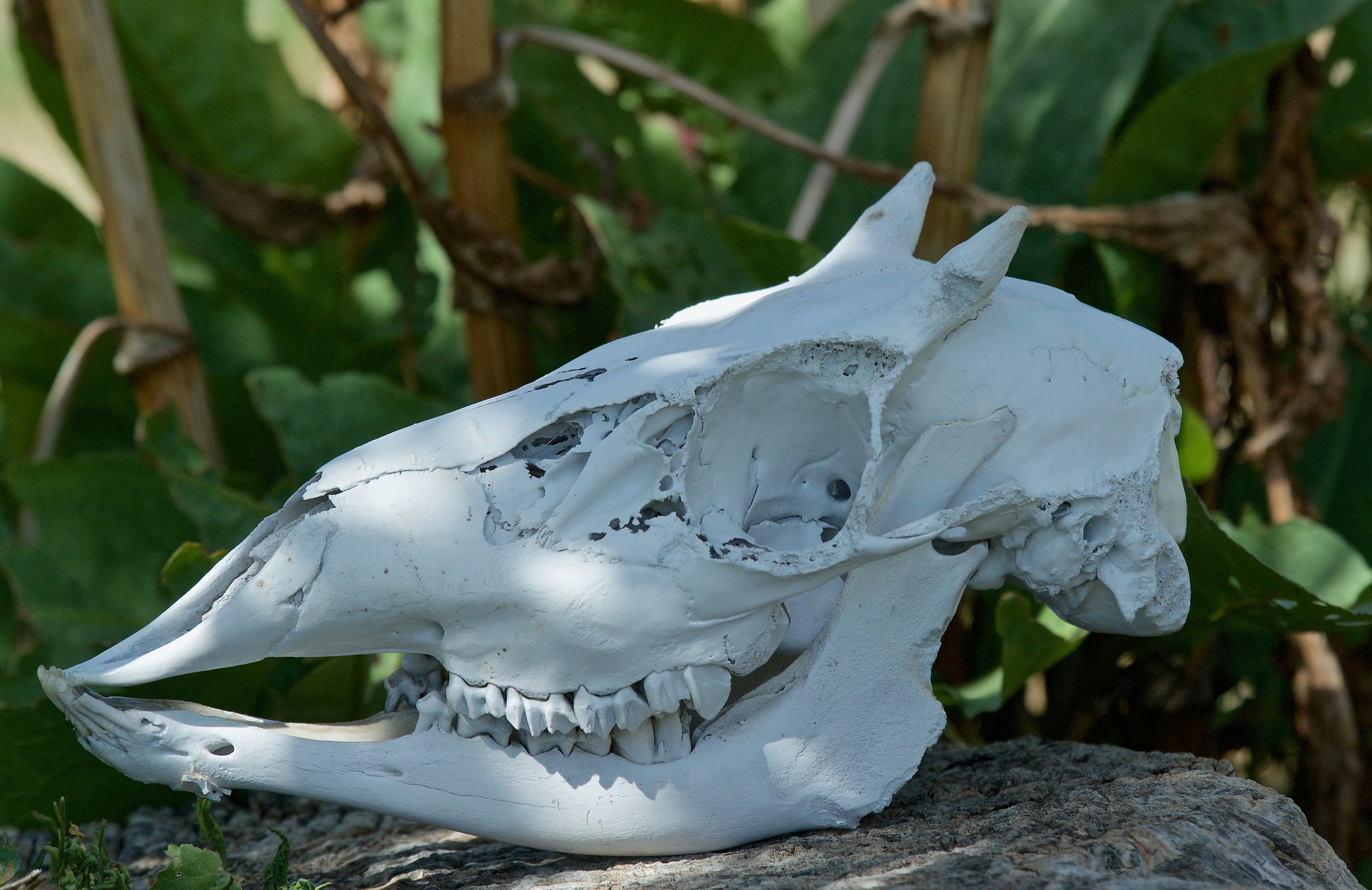 Mammal Skulls - Plants and Animals of Northeast Colorado