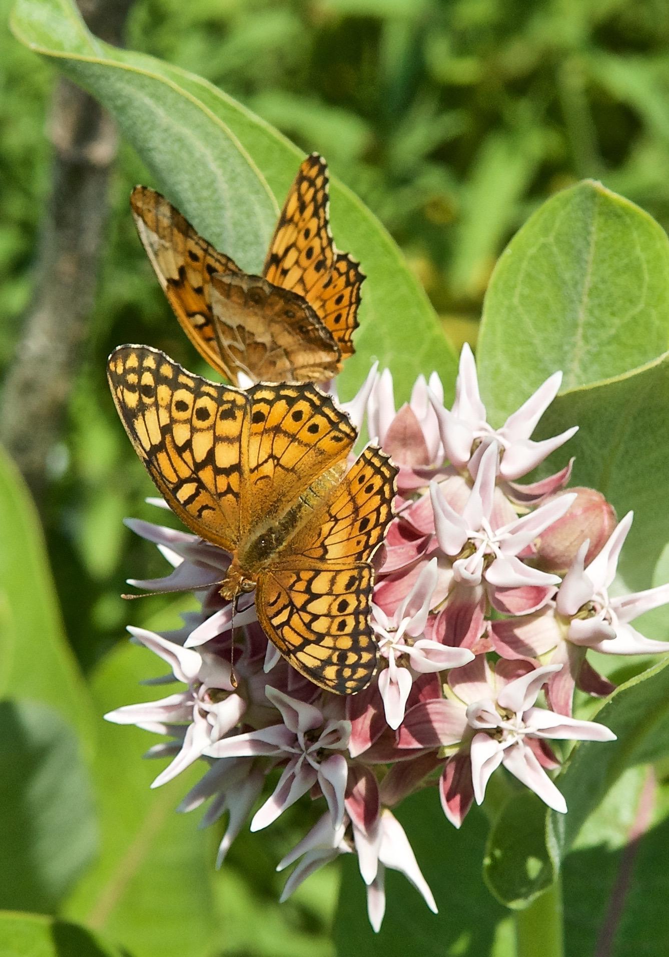 Euptoieta claudia (Butterfly)Variegated Fritillary on Showy Milkweed