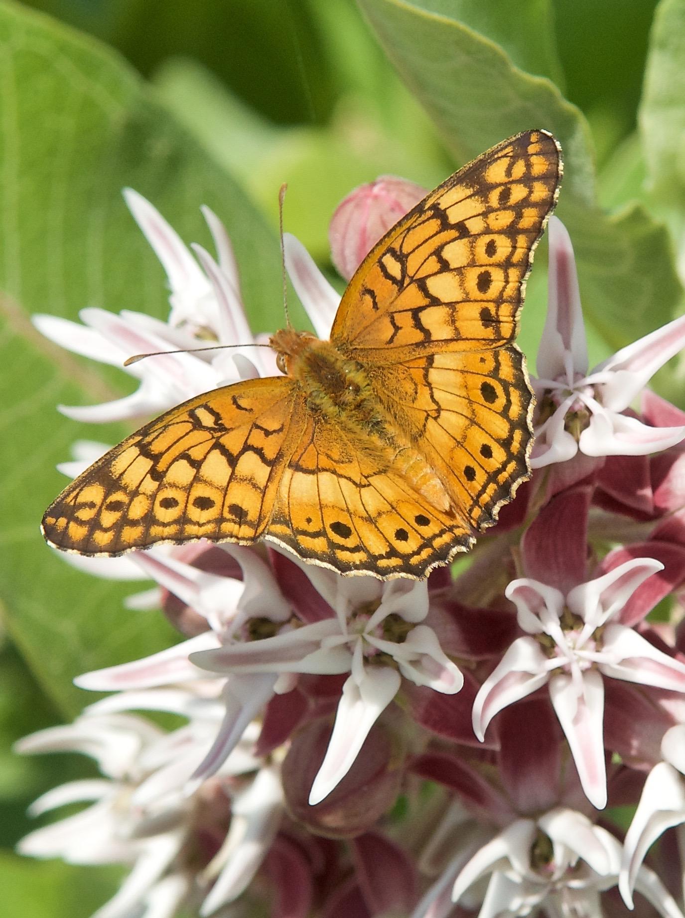 Variegated Fritillary (Euptoieta claudia ) on Milkweed