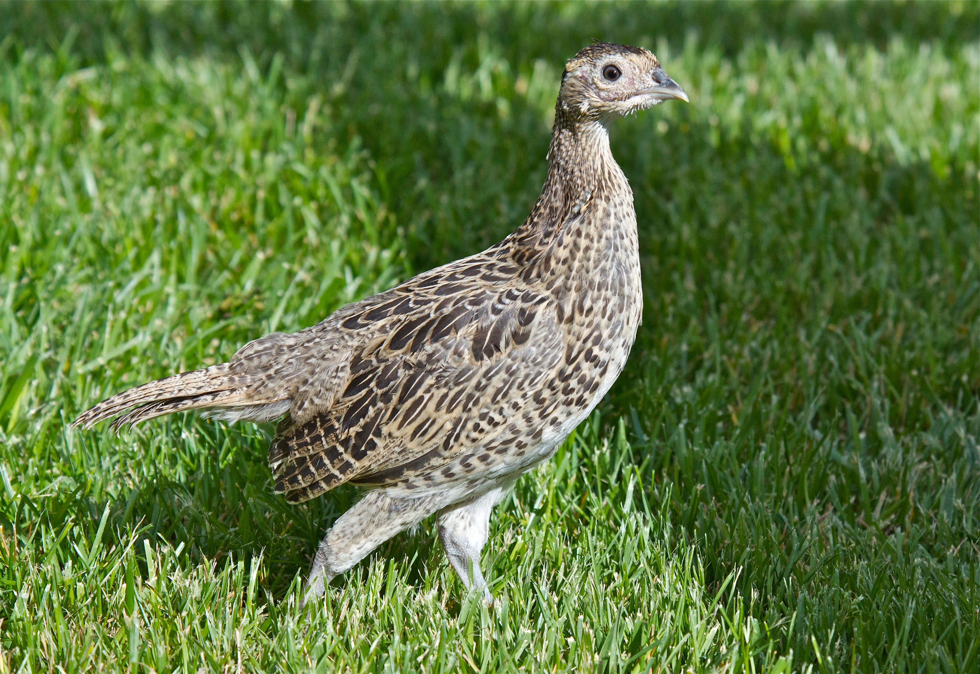Young Ring-Necked Pheasant 5 ½ Weeks