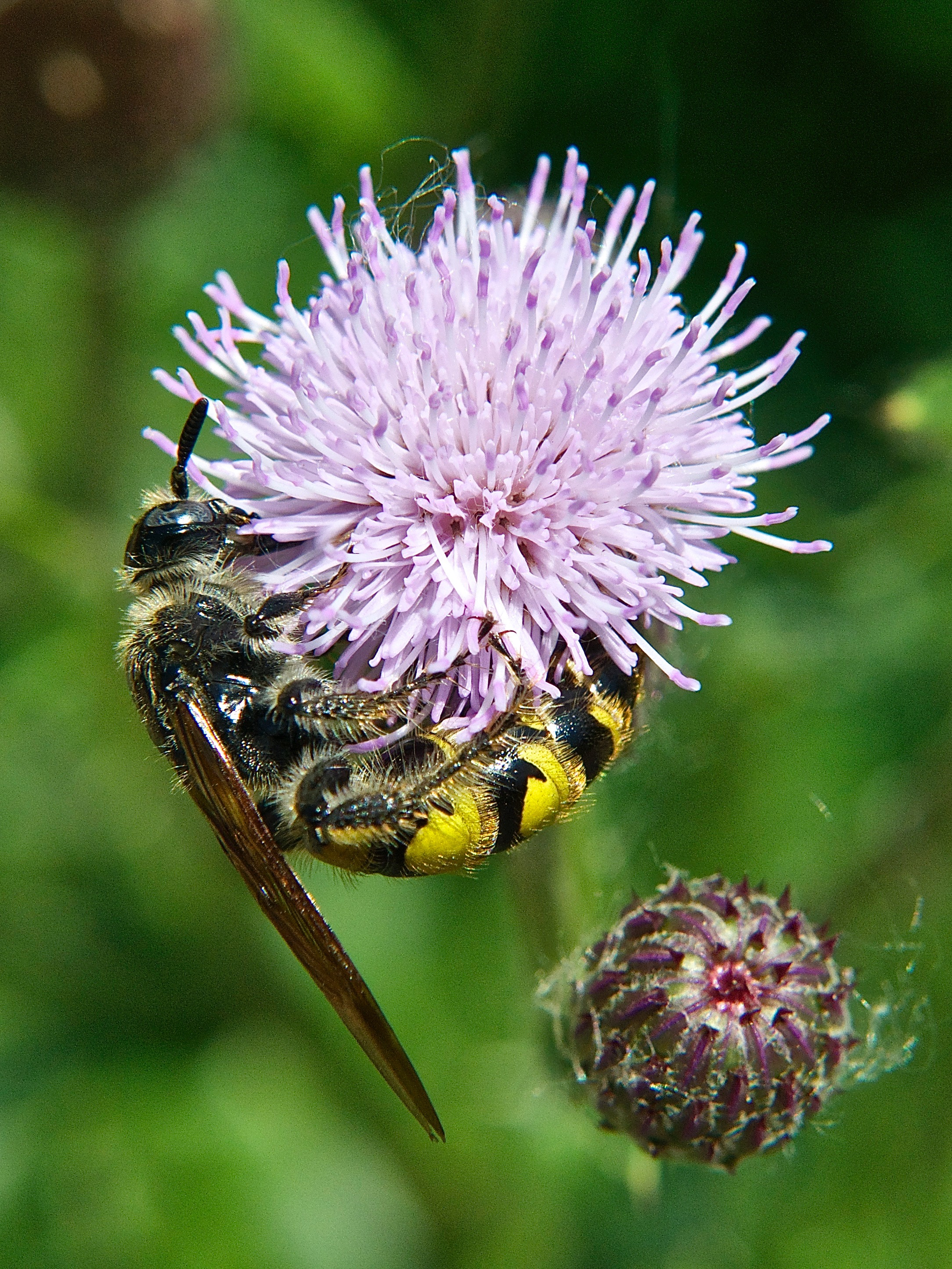 Yellow Jacket Wasp on Canada Thistle