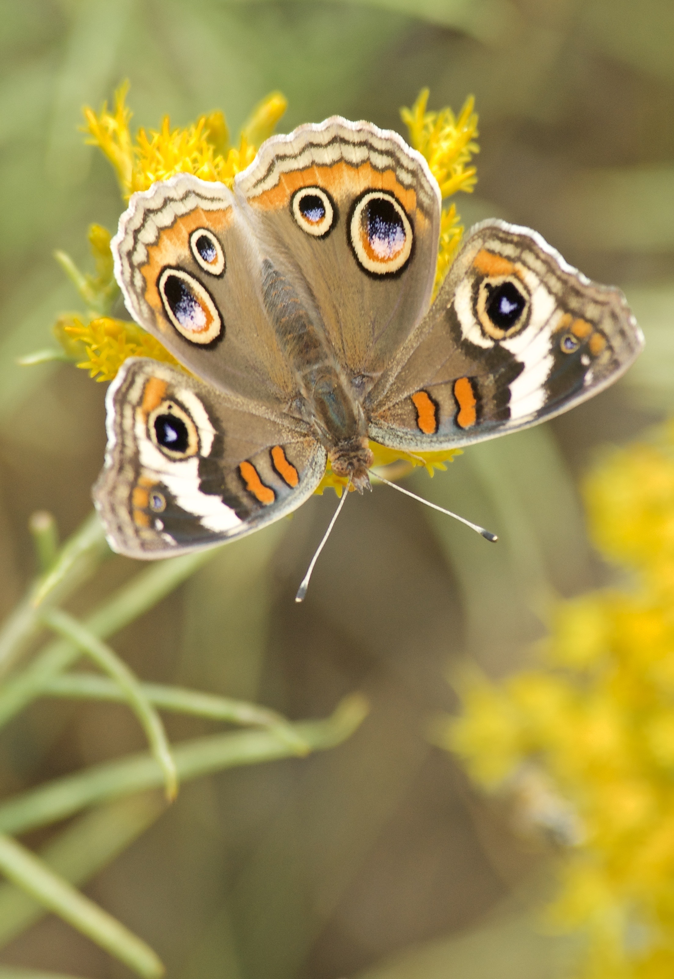 Buckeye Butterfly (Junonia coenia) on Rabbitbrush