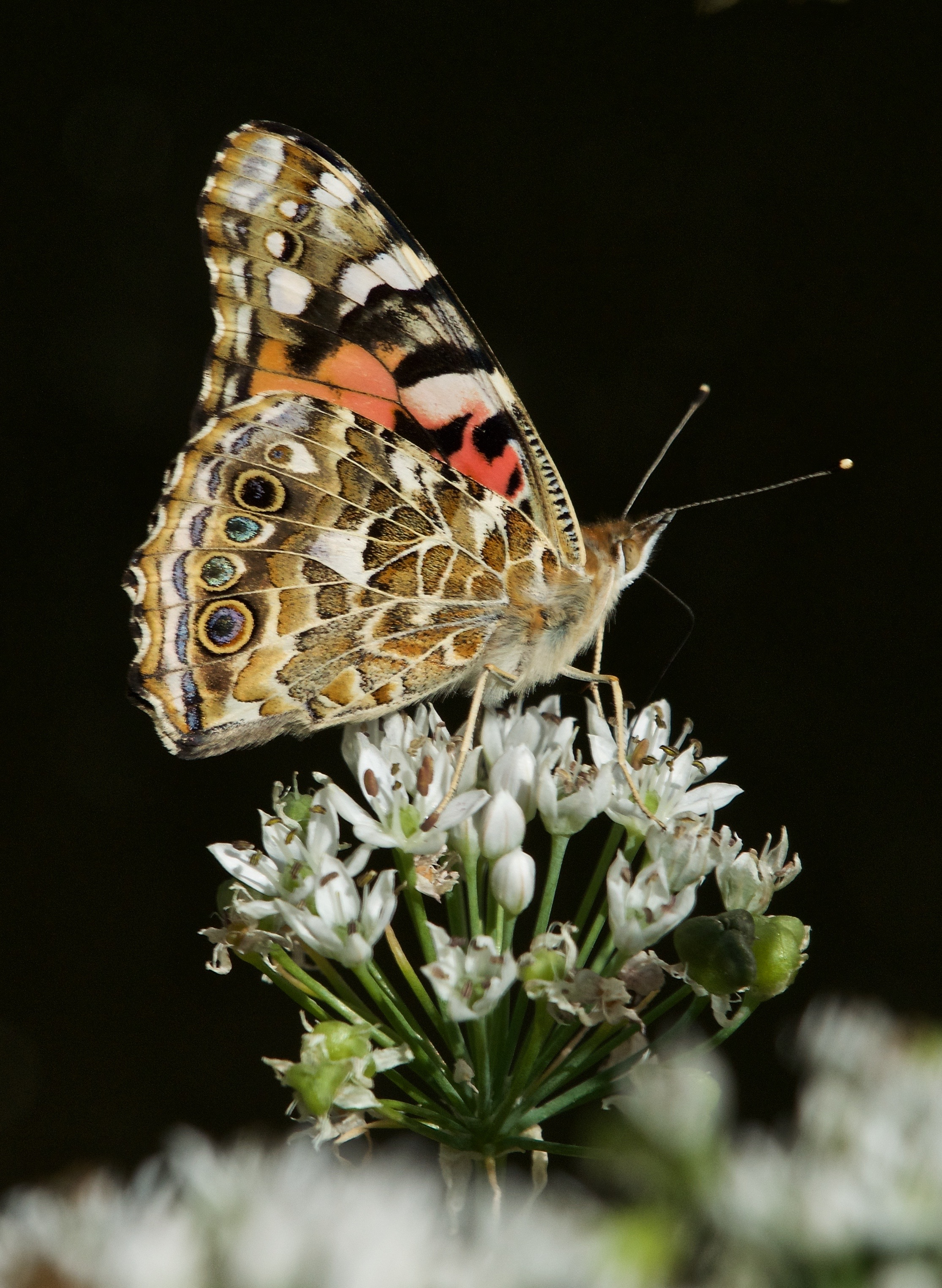 Painted Lady (Vanessa cardui) on Onion