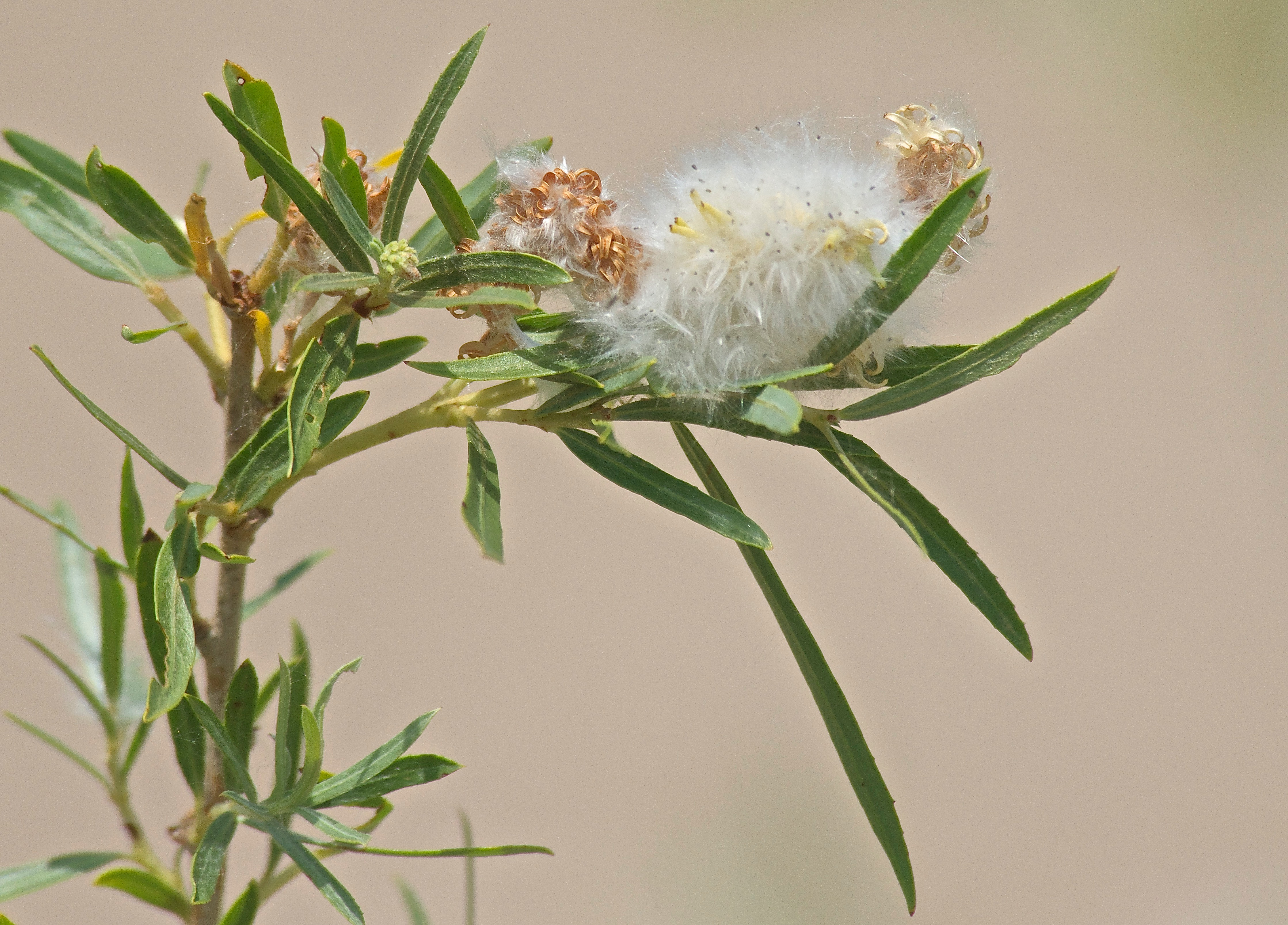 Coyote Willow Catkin