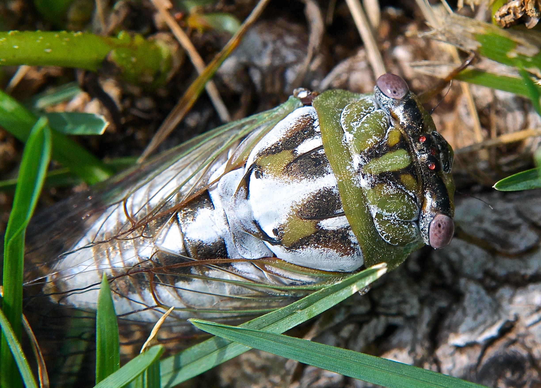 Local Cicada (Tibicen dealbatus) (Note Pruinescence)
