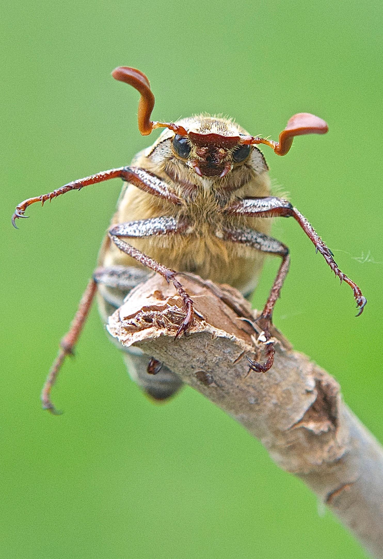 Ten-Lined June Beetle