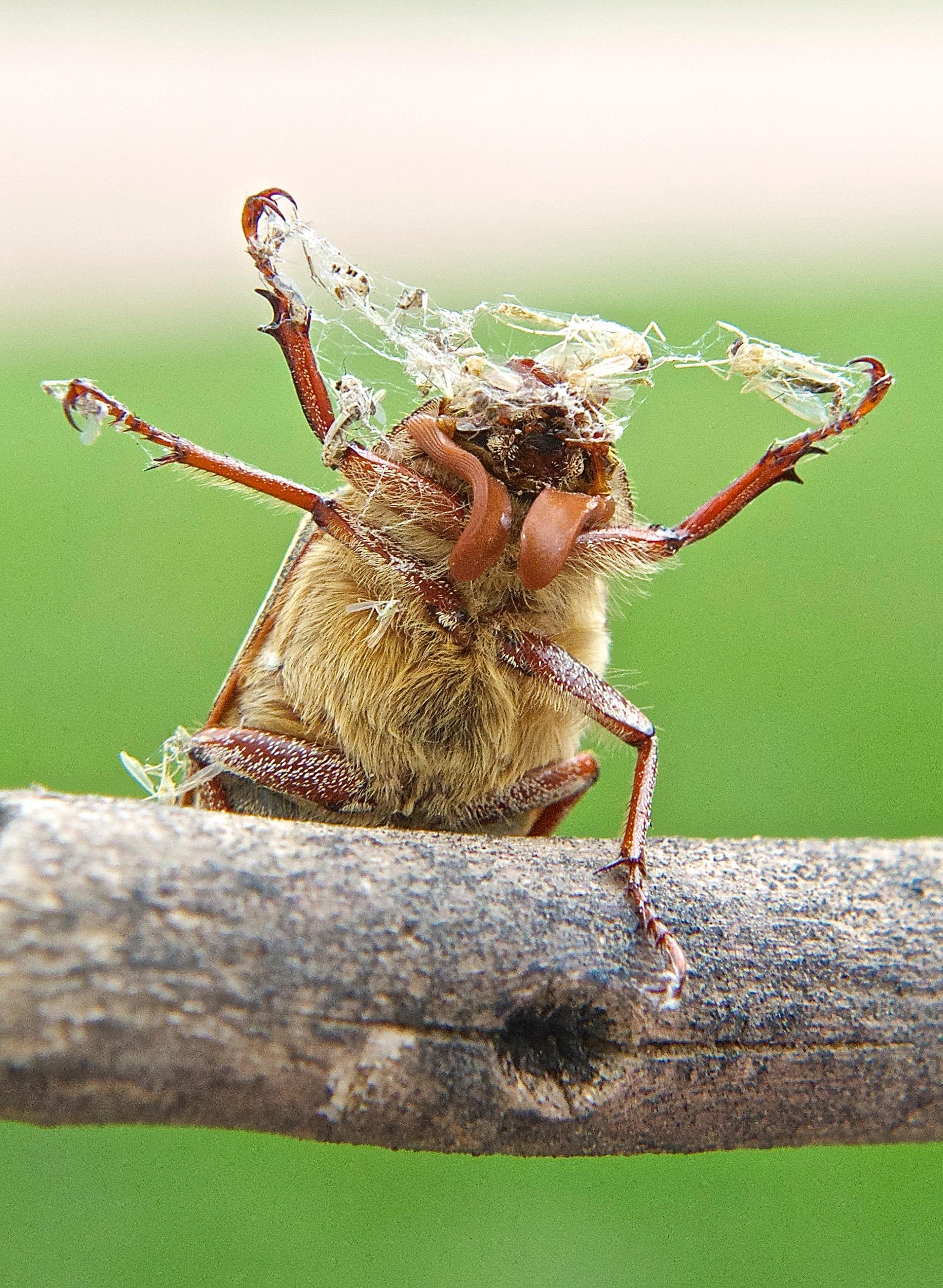 Ten-Lined June Beetle (Fighting Spider Web)
