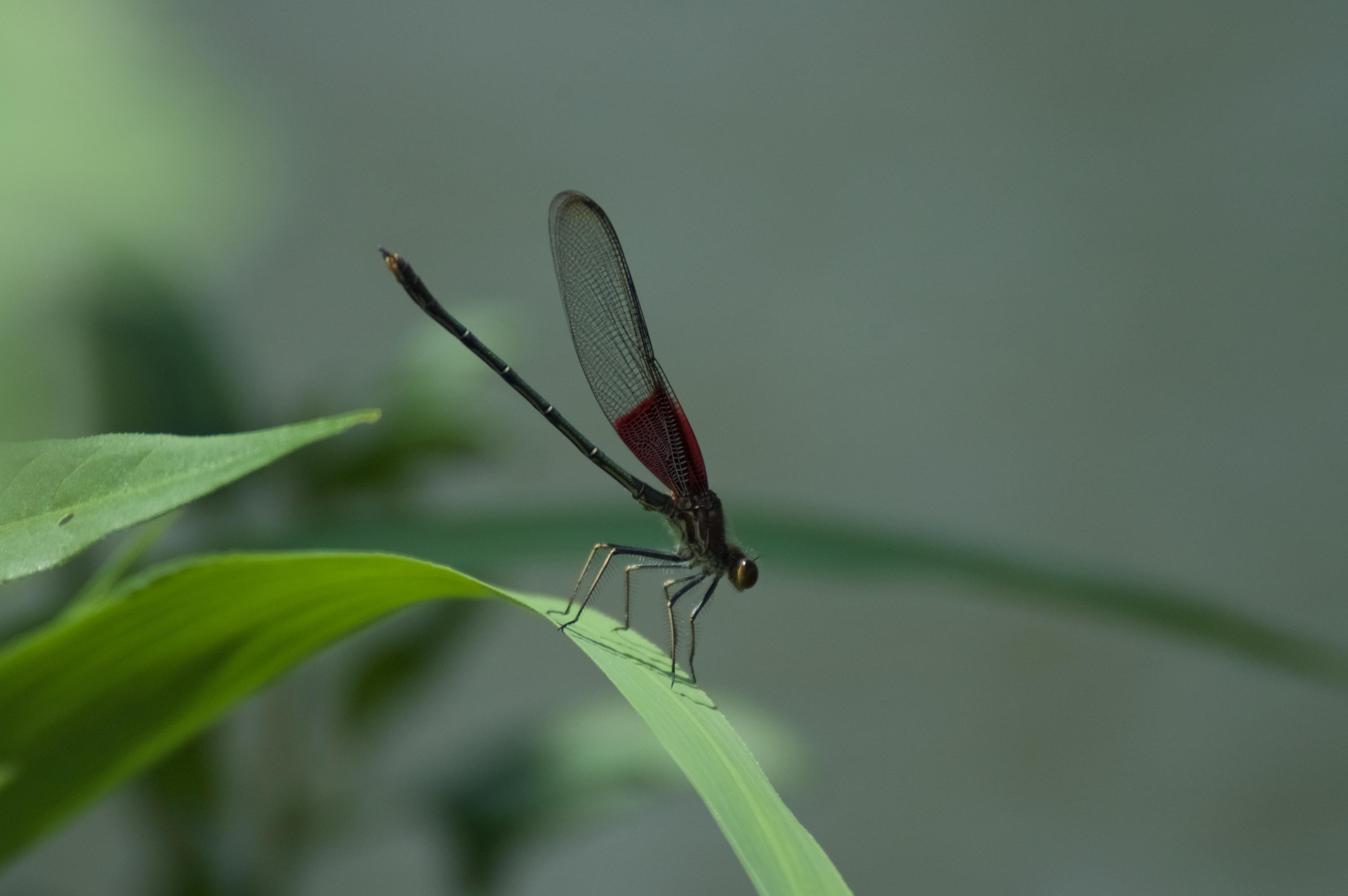 Dragonfly (American Ruby Spot Damselfly)