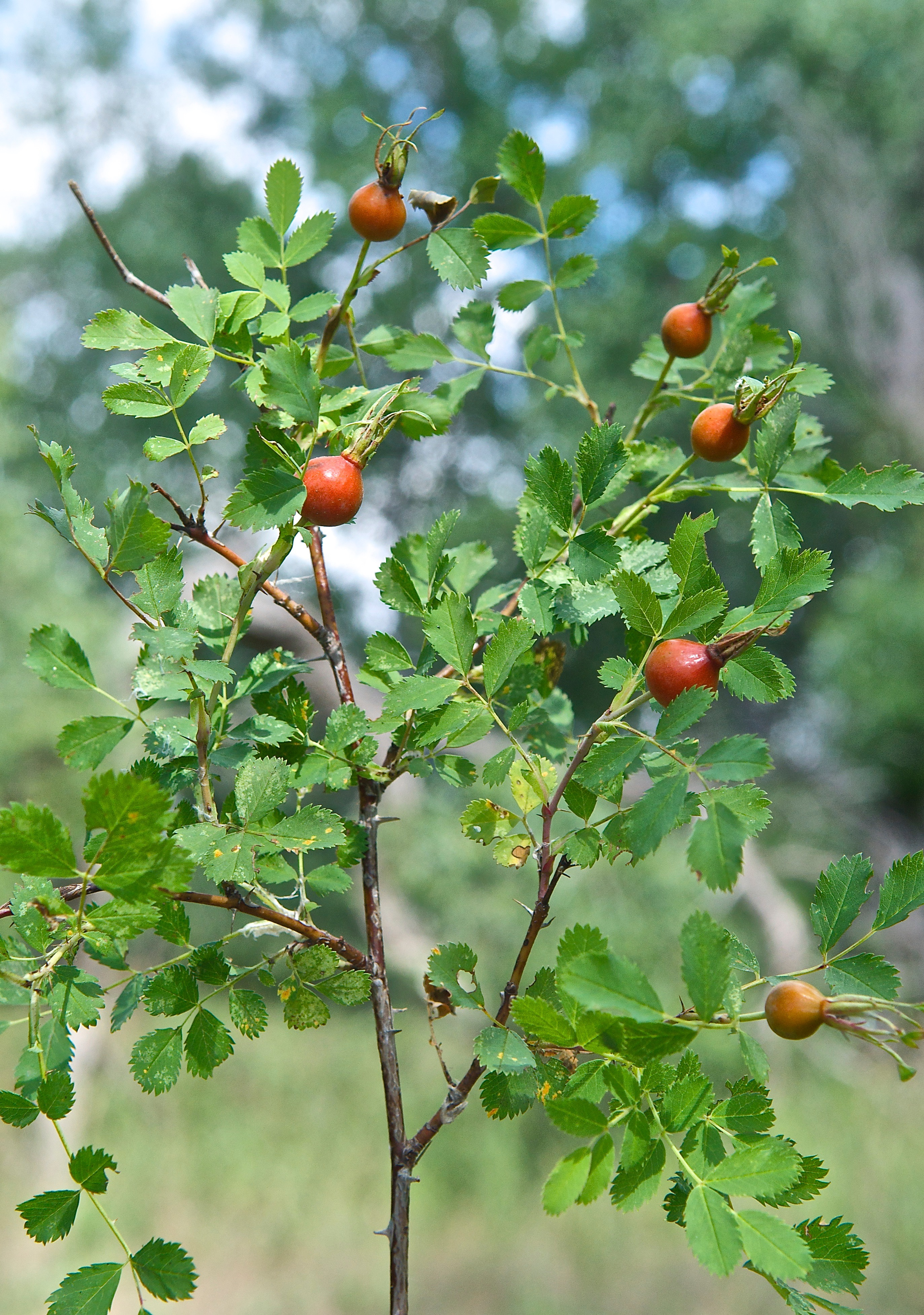 "Wild Rose ""Hips"" (Rosa Woodsii)"