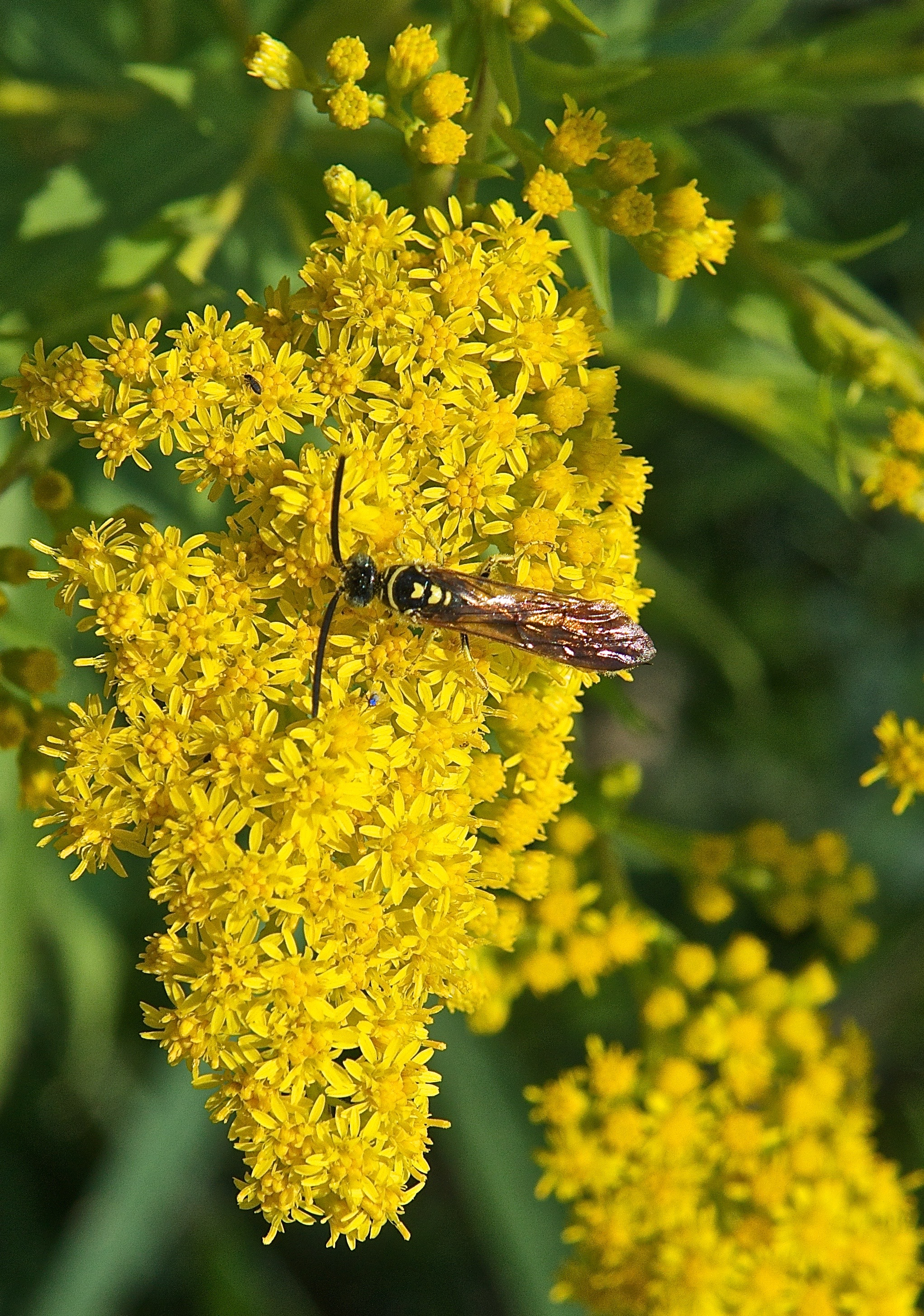 Tiphiid Wasp on Canada Goldenrod (Solidago canadensis)